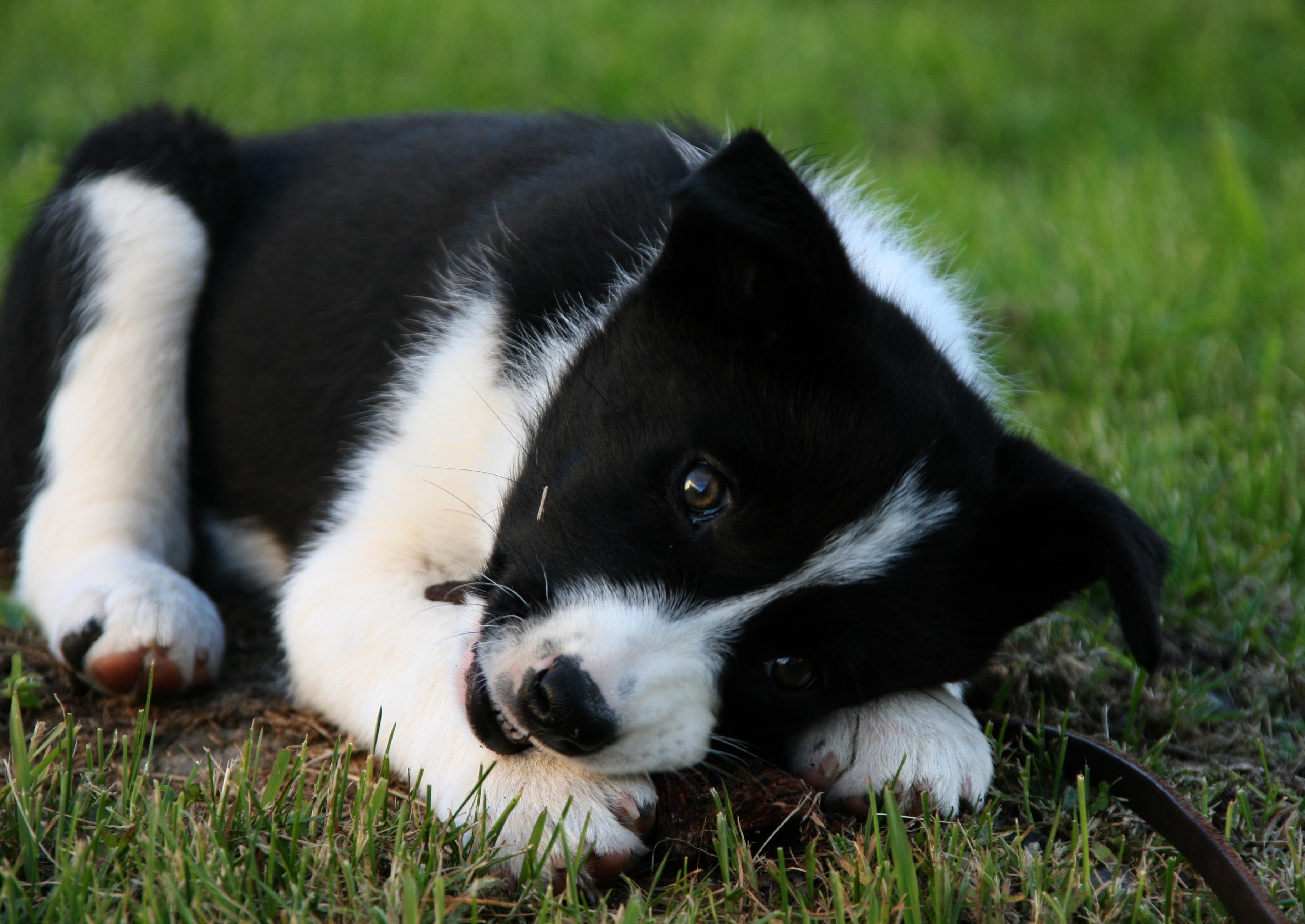 Topp Bildet : svart og hvit, valp, border collie, kjæledyr, dyr HI-76