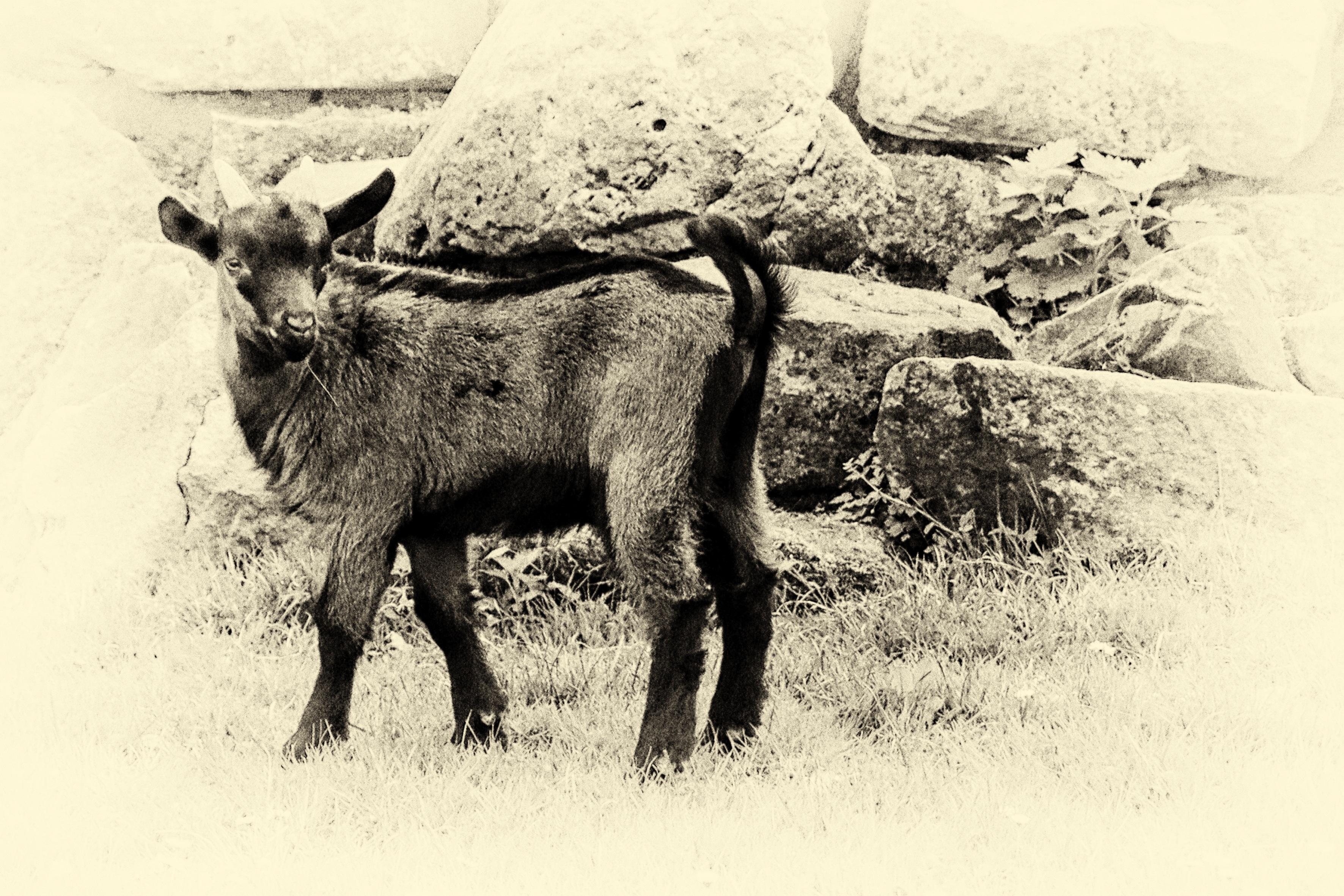 Gambar Hitam Dan Putih Domba Binatang Menyusui Satu Warna