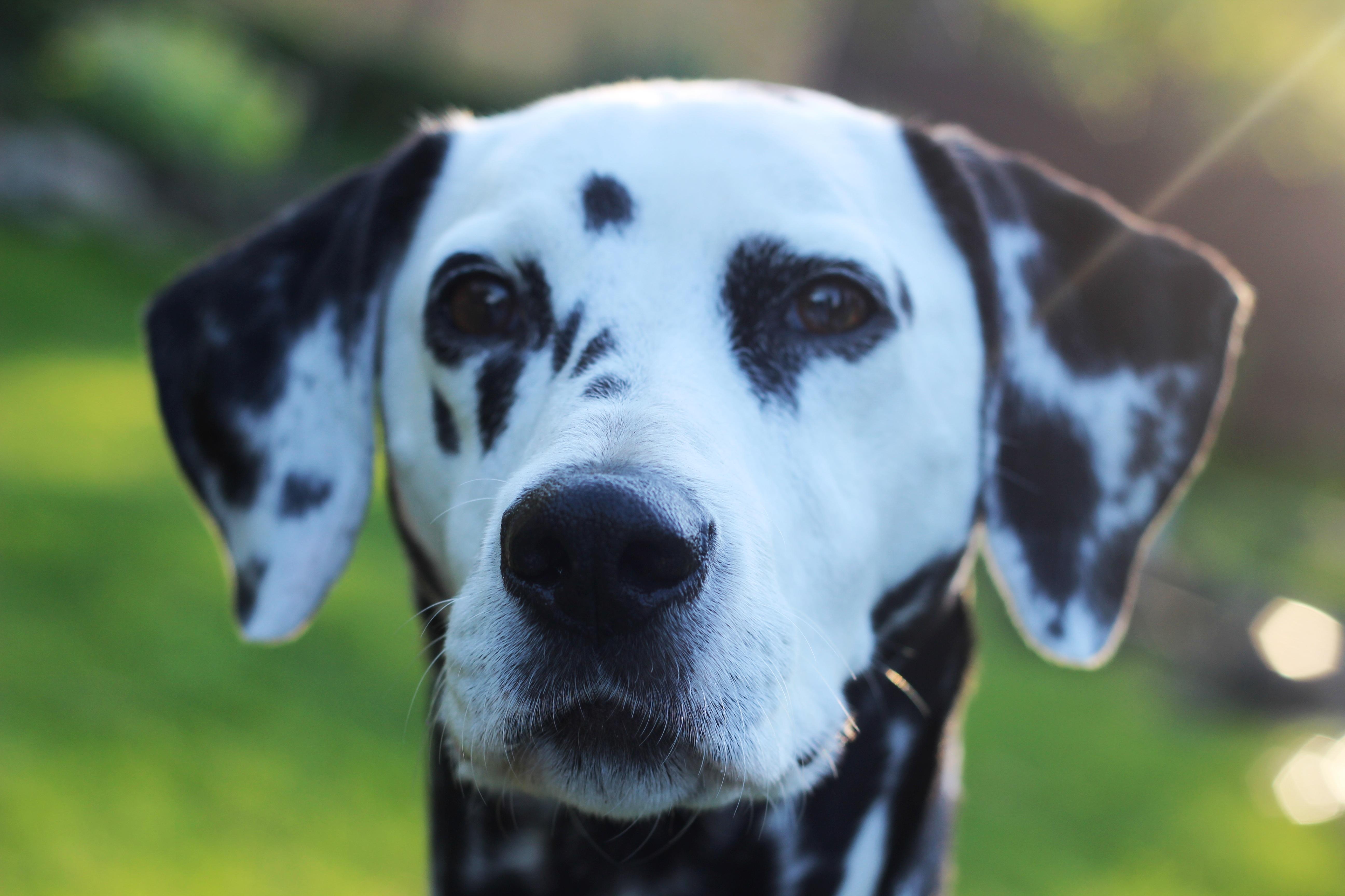 Images gratuites noir et blanc vue fourrure jardin - Dessin tete de chien ...