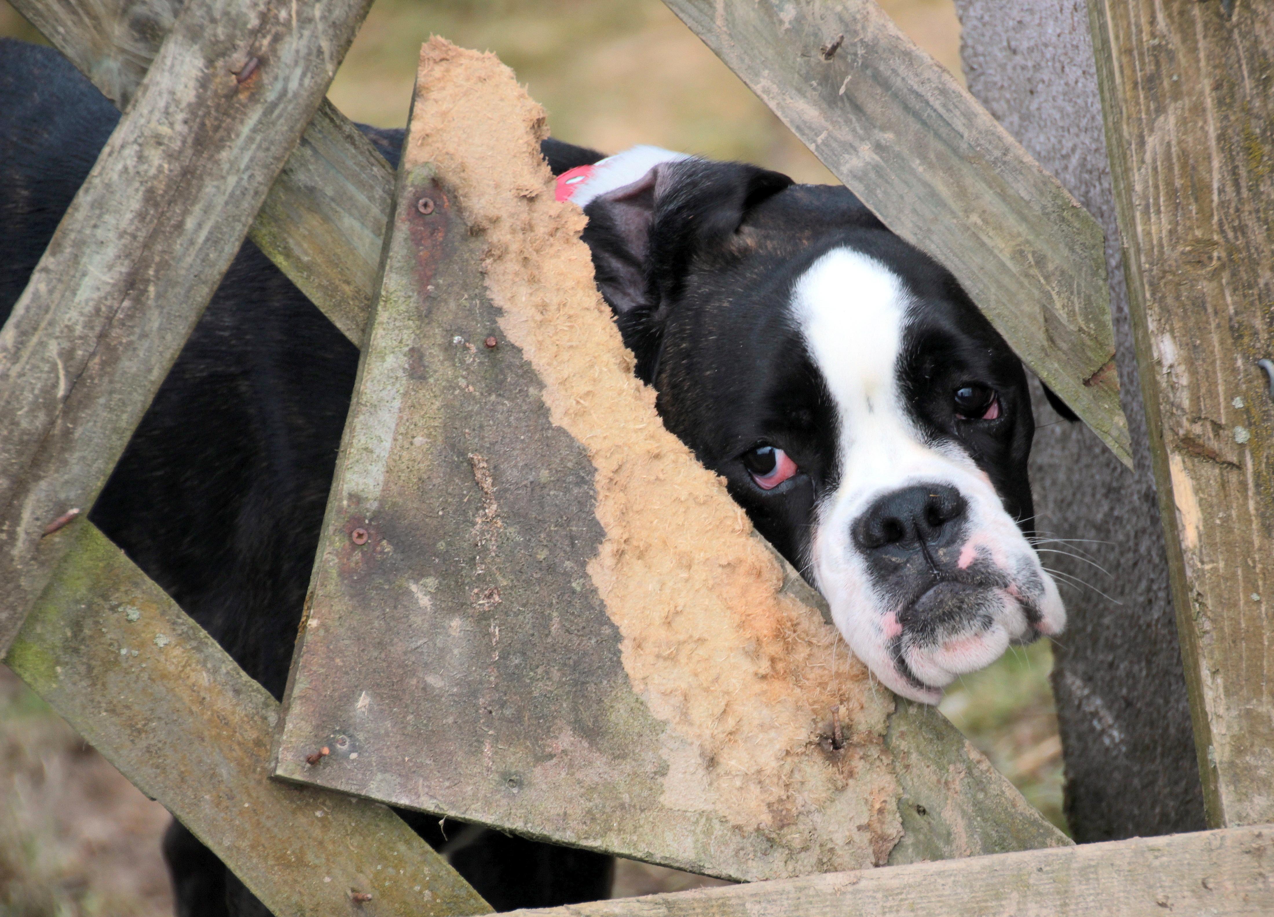 Free Images Black And White View Pet Boxer Sad Vertebrate