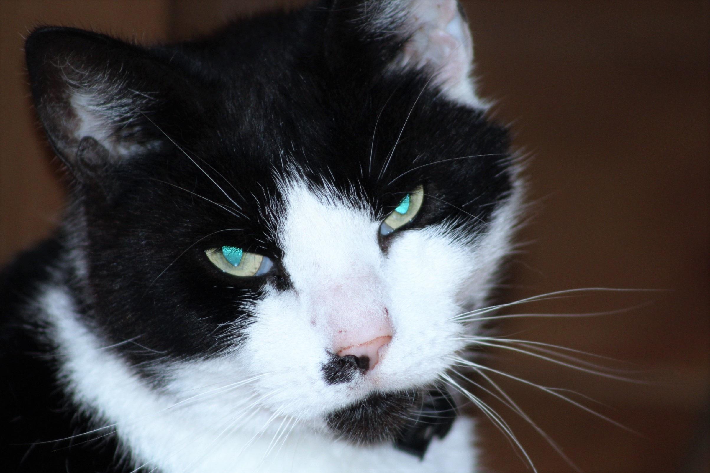Free Images : black and white, animal, pet, kitten, black cat, close ...