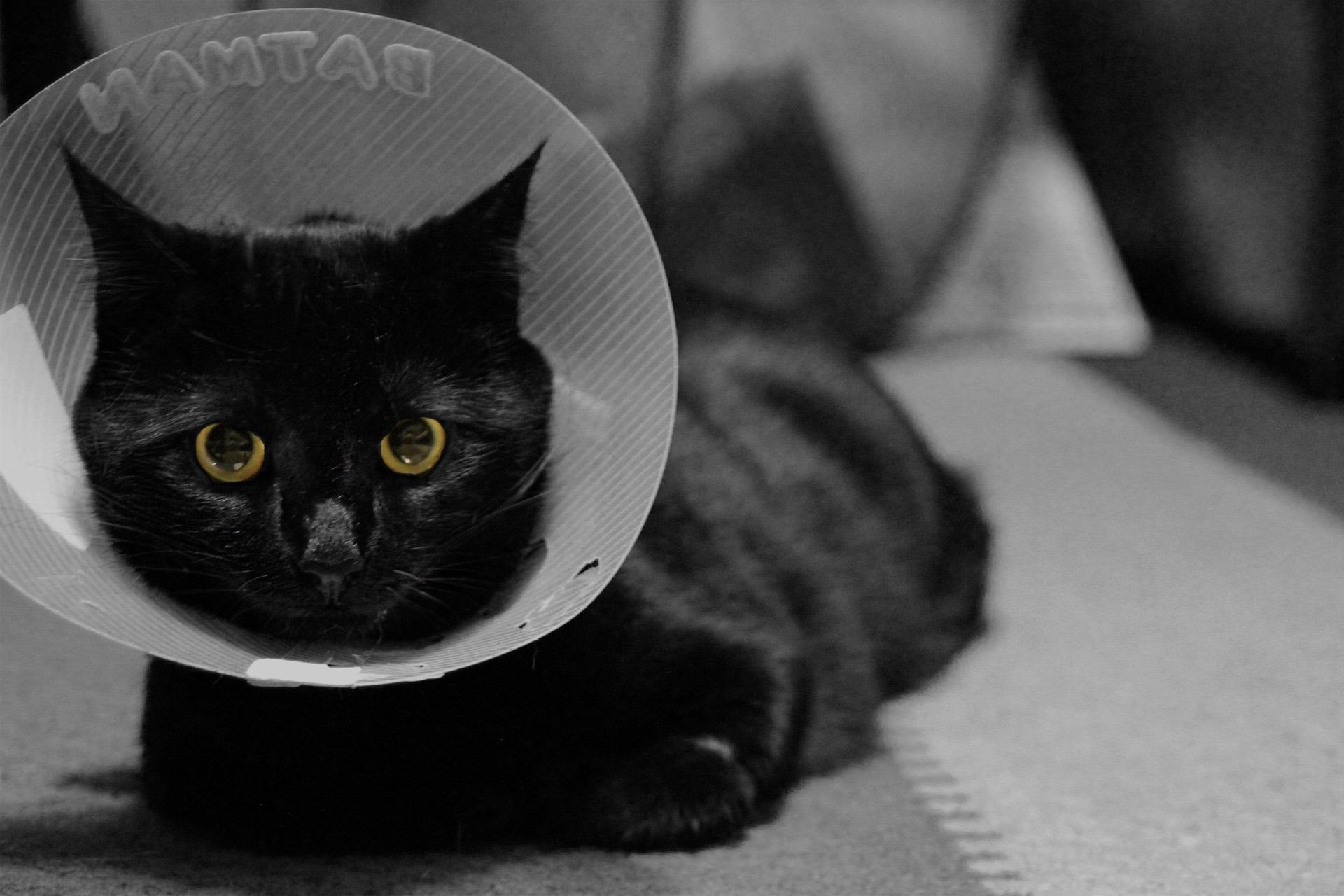 Fotos gratis : en blanco y negro, felino, cono, gato negro ...