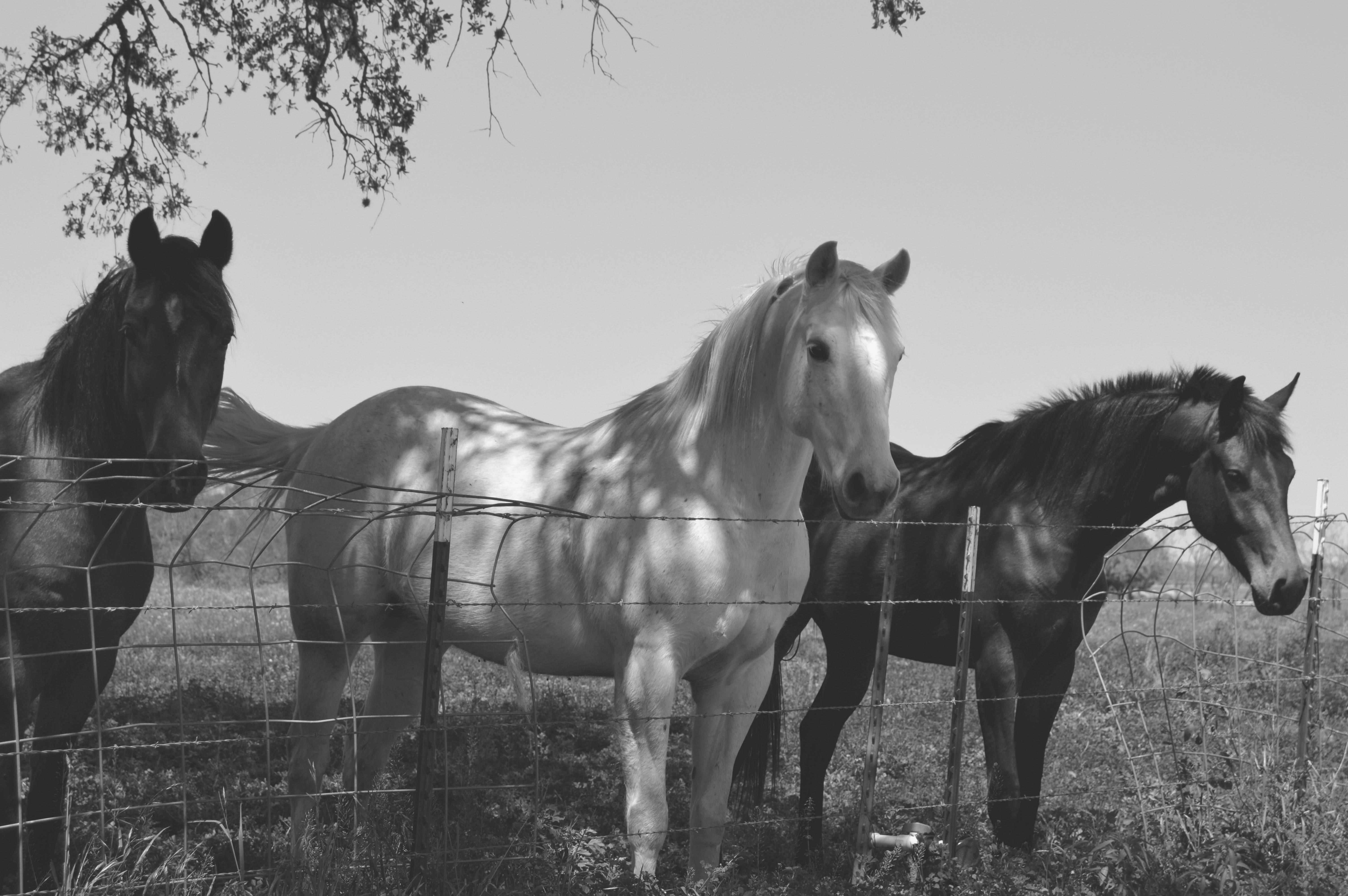 Free Images : black and white, farm, stallion, mane ...