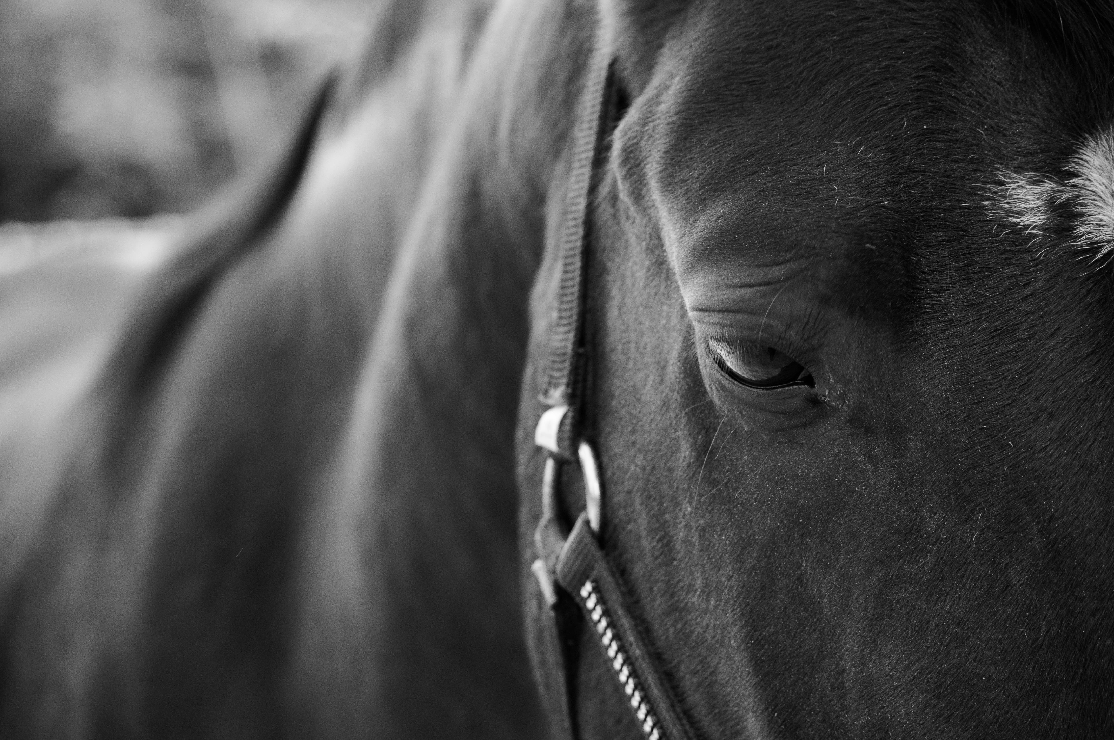 Images gratuites noir et blanc champ la photographie animal cheval talon crini re - Cheval a imprimer noir et blanc ...