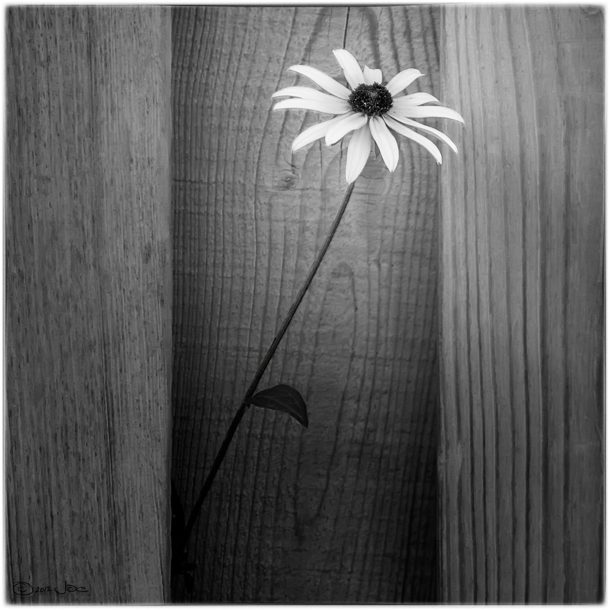 Images Gratuites Noir Et Blanc Fleur Modèle Monochrome