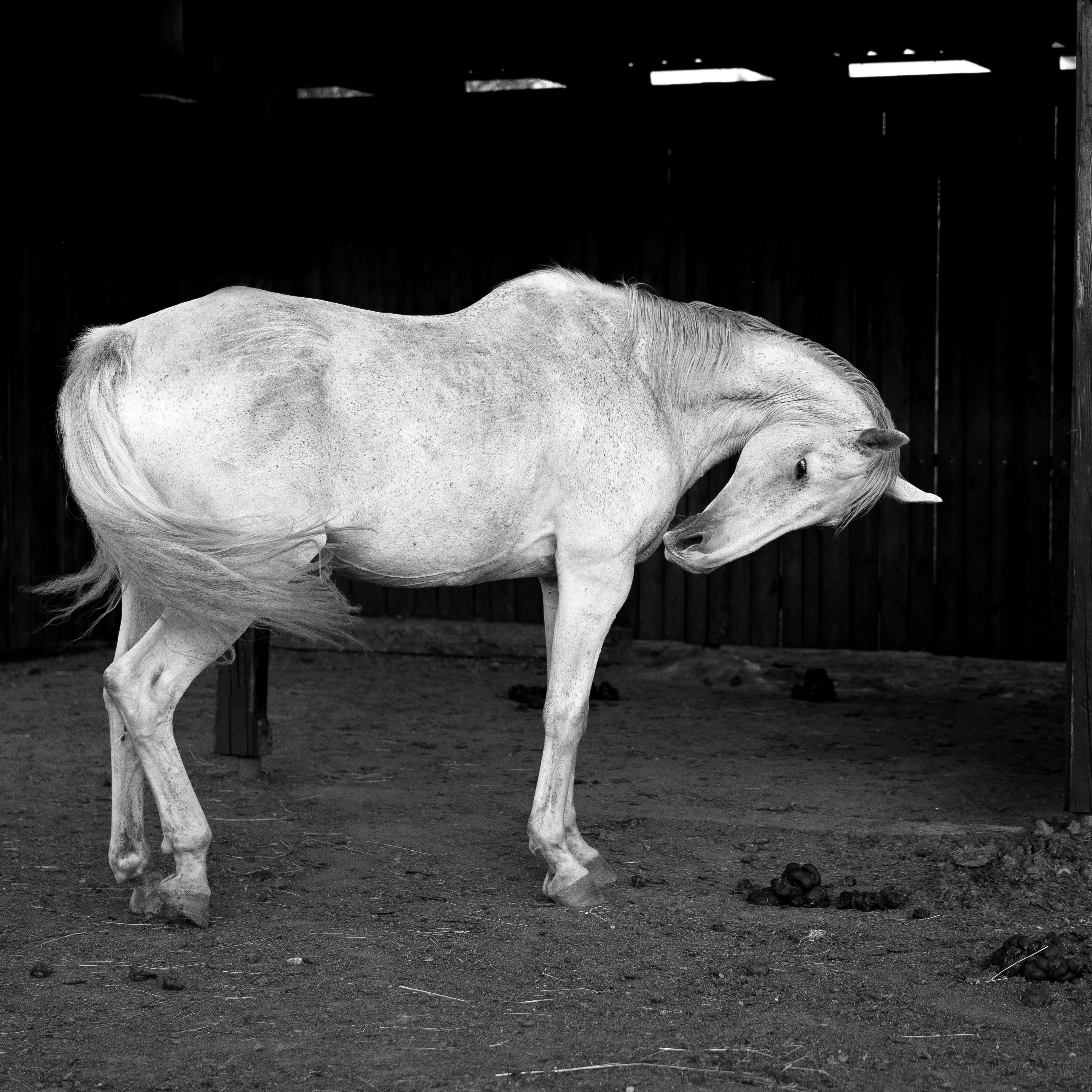 Gambar Hitam Dan Putih Binatang Menyusui Kuda Jantan