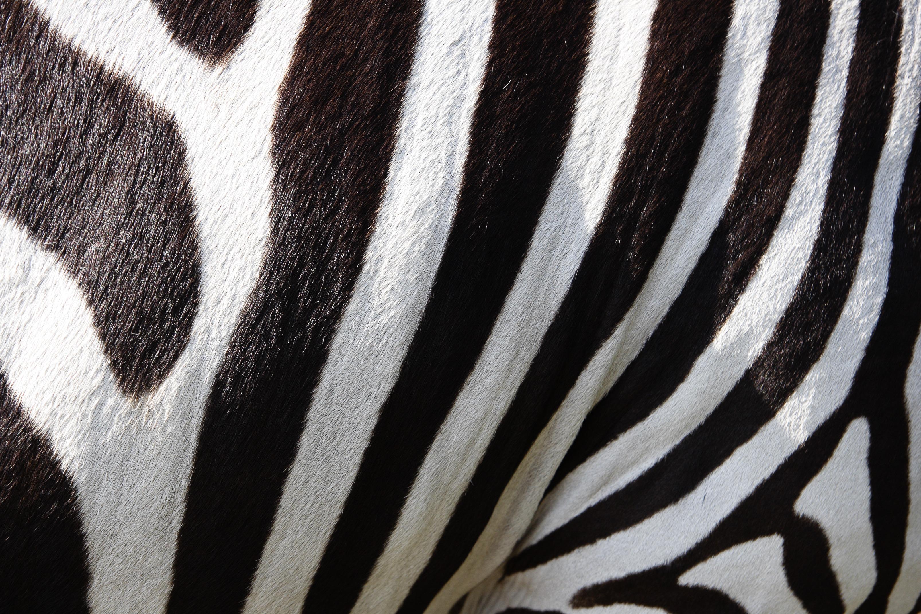 images gratuites noir et blanc crini re monochrome z bre fermer animaux rayures. Black Bedroom Furniture Sets. Home Design Ideas