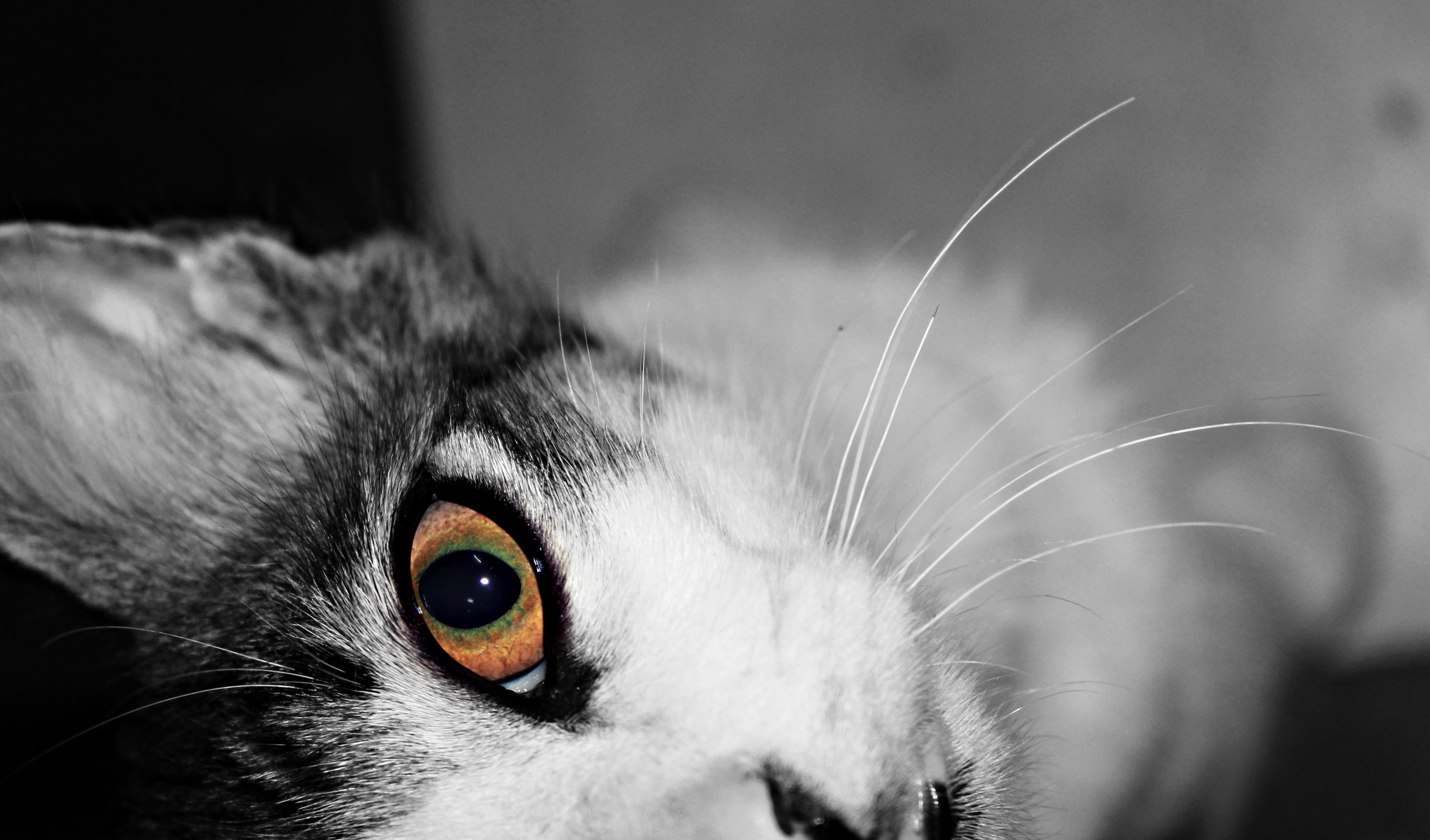 Free Images Black And White Animal Pet Kitten Close