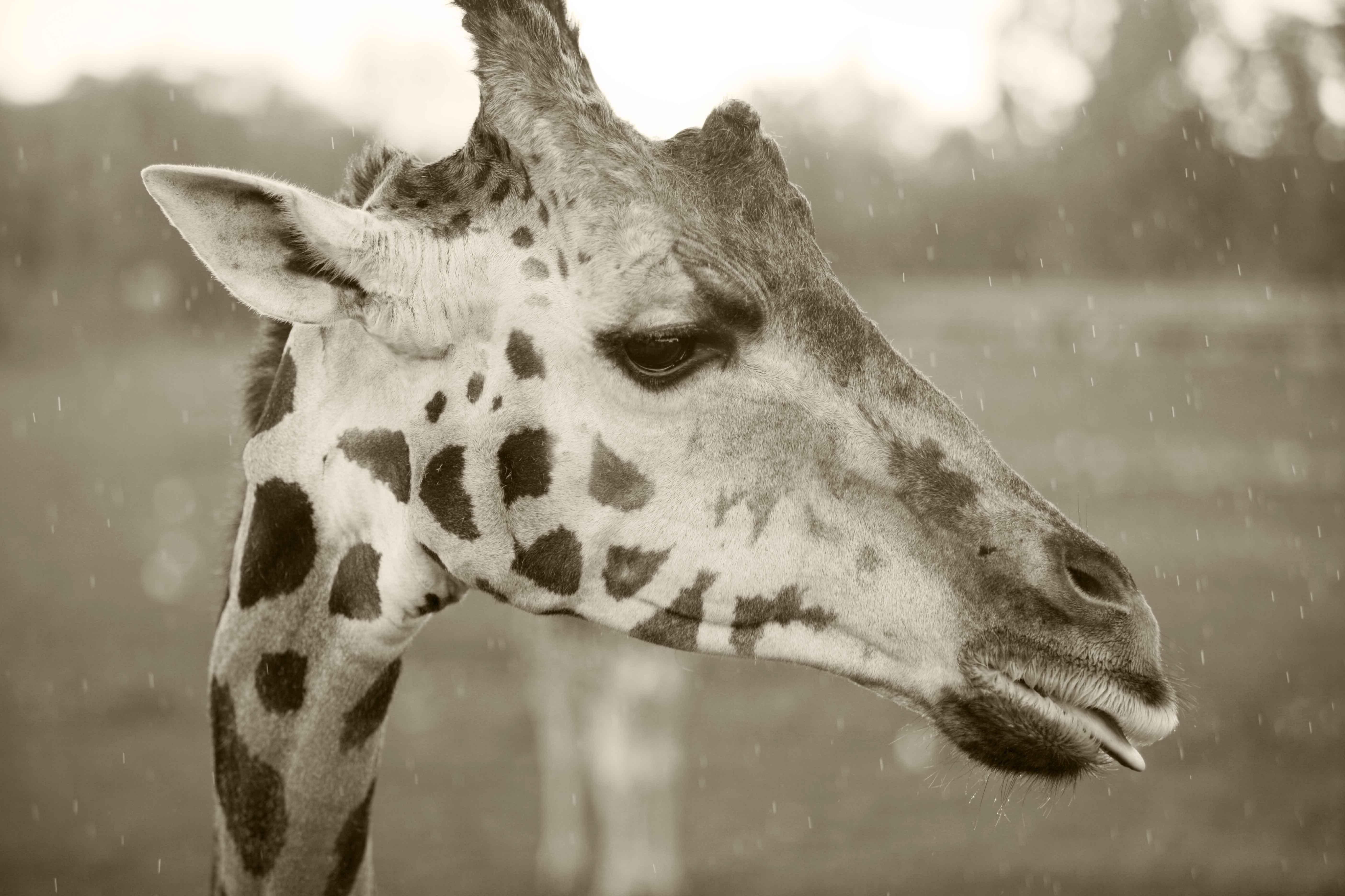 Картинки белого жирафа
