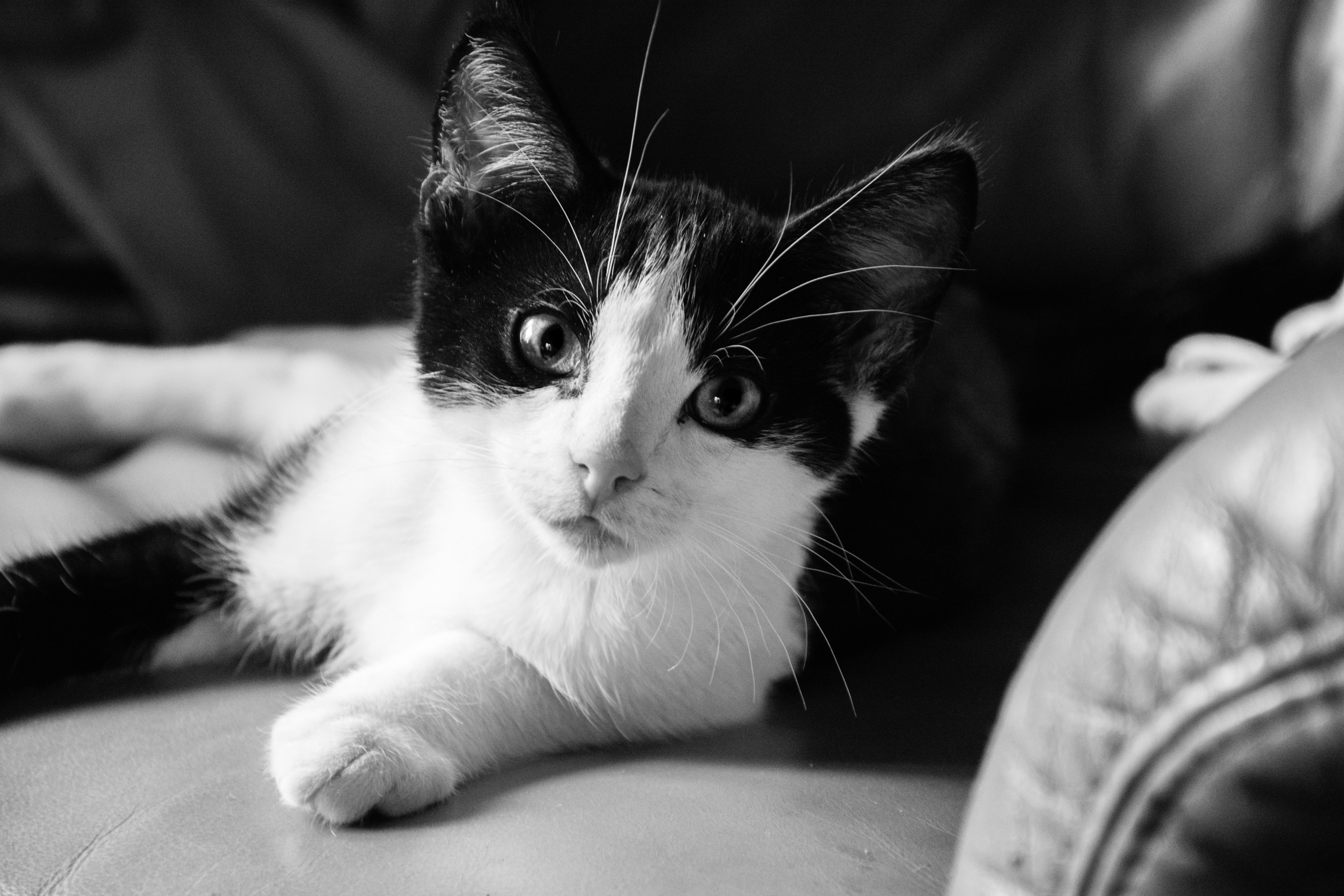 Jual Kucing Munchkin Bali Jual Kucing Persia Kitten Lucu