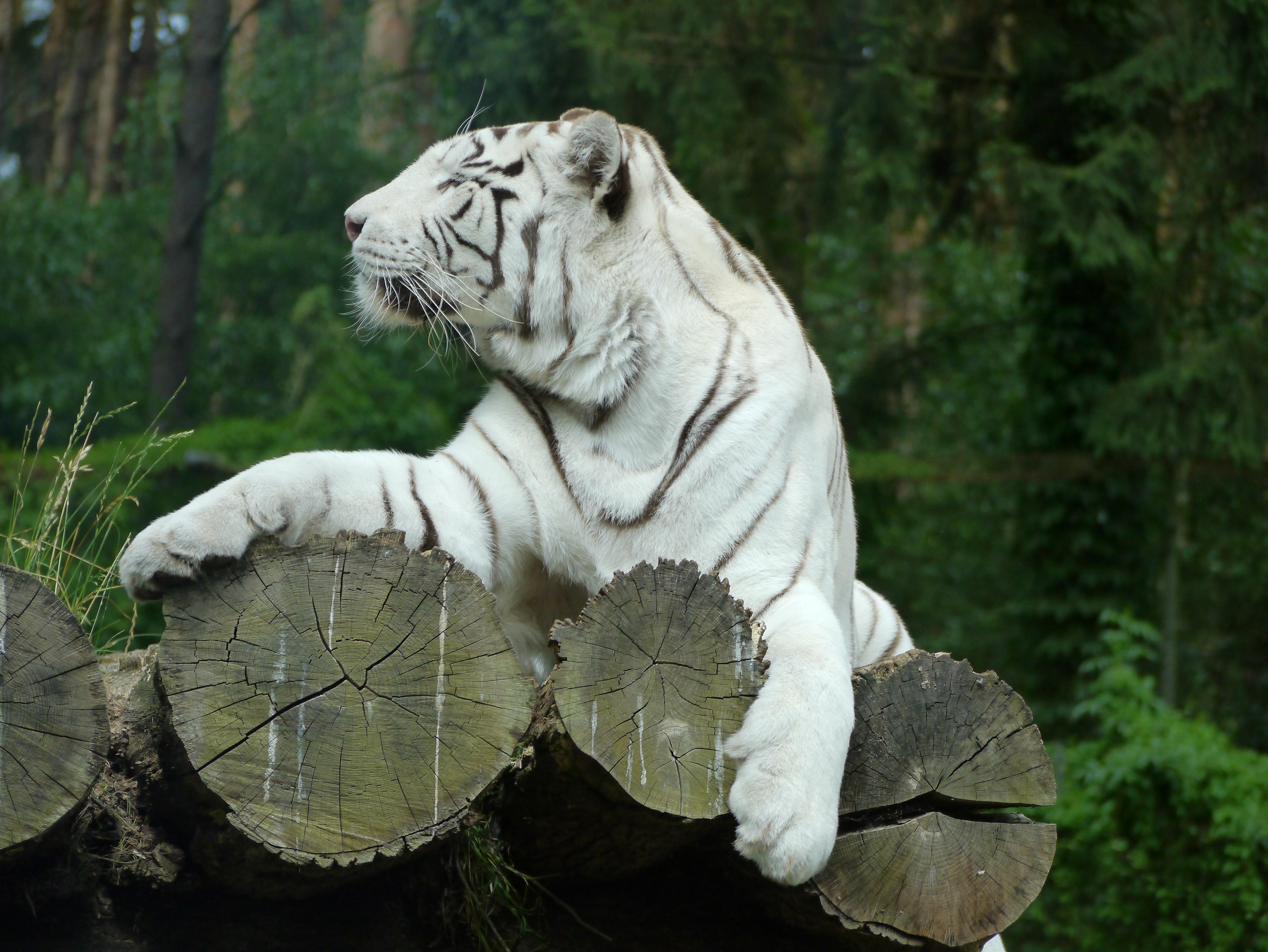 Gambar Hitam Dan Putih Margasatwa Binatang Menyusui Fauna
