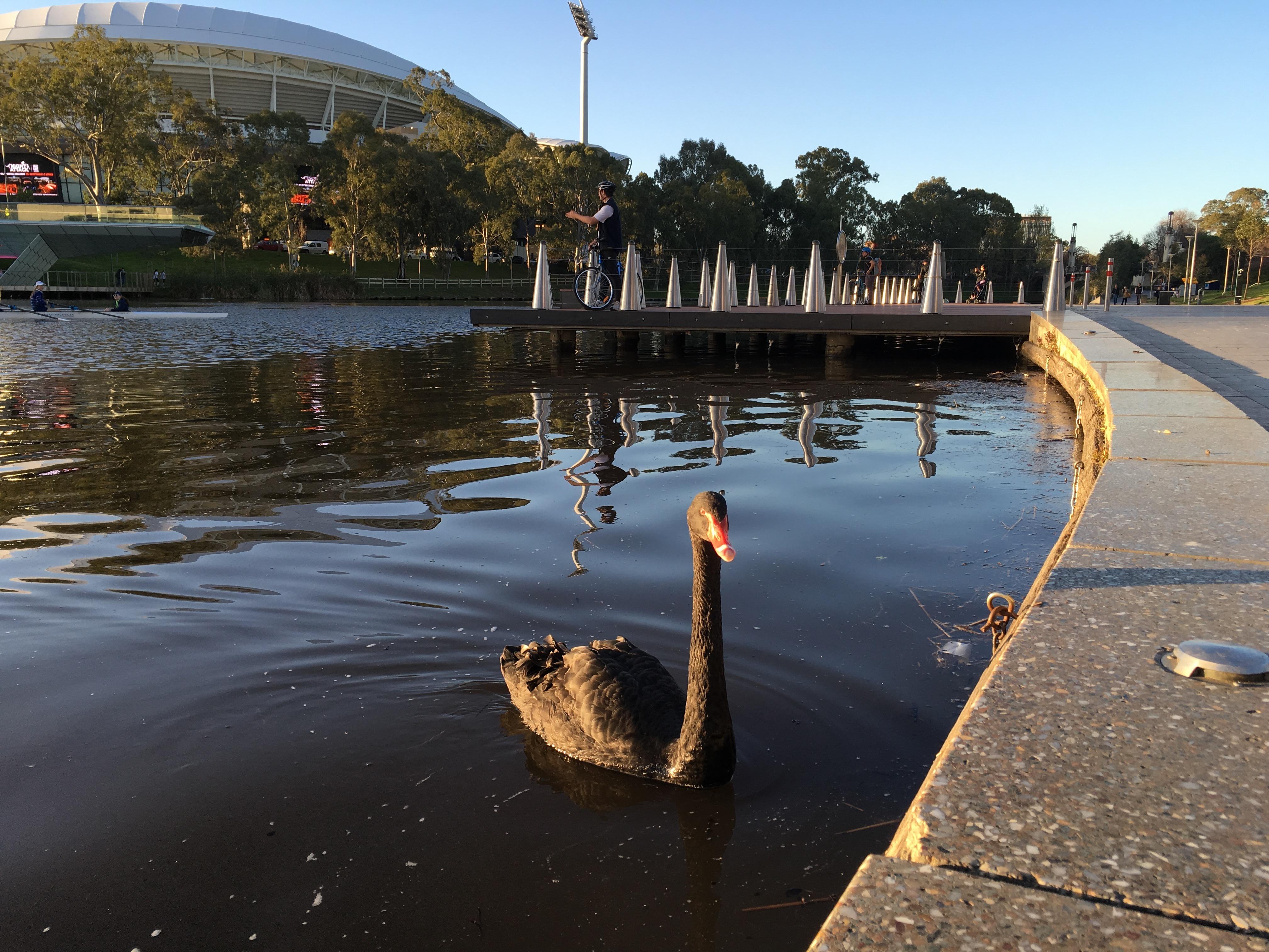 Poze Negru Lebădă Adelaide Oval Sud Australia