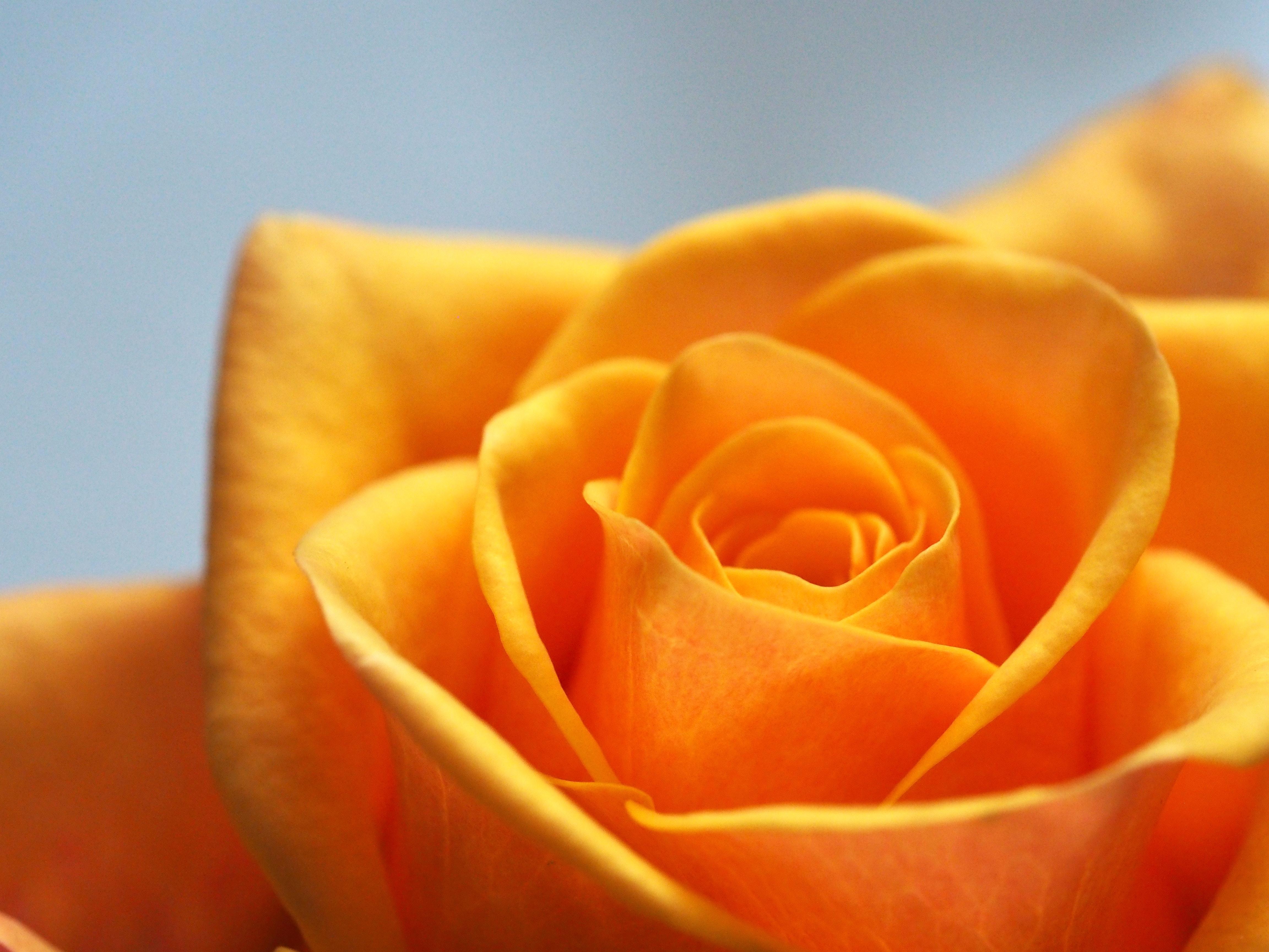 yellow love rose - 765×573