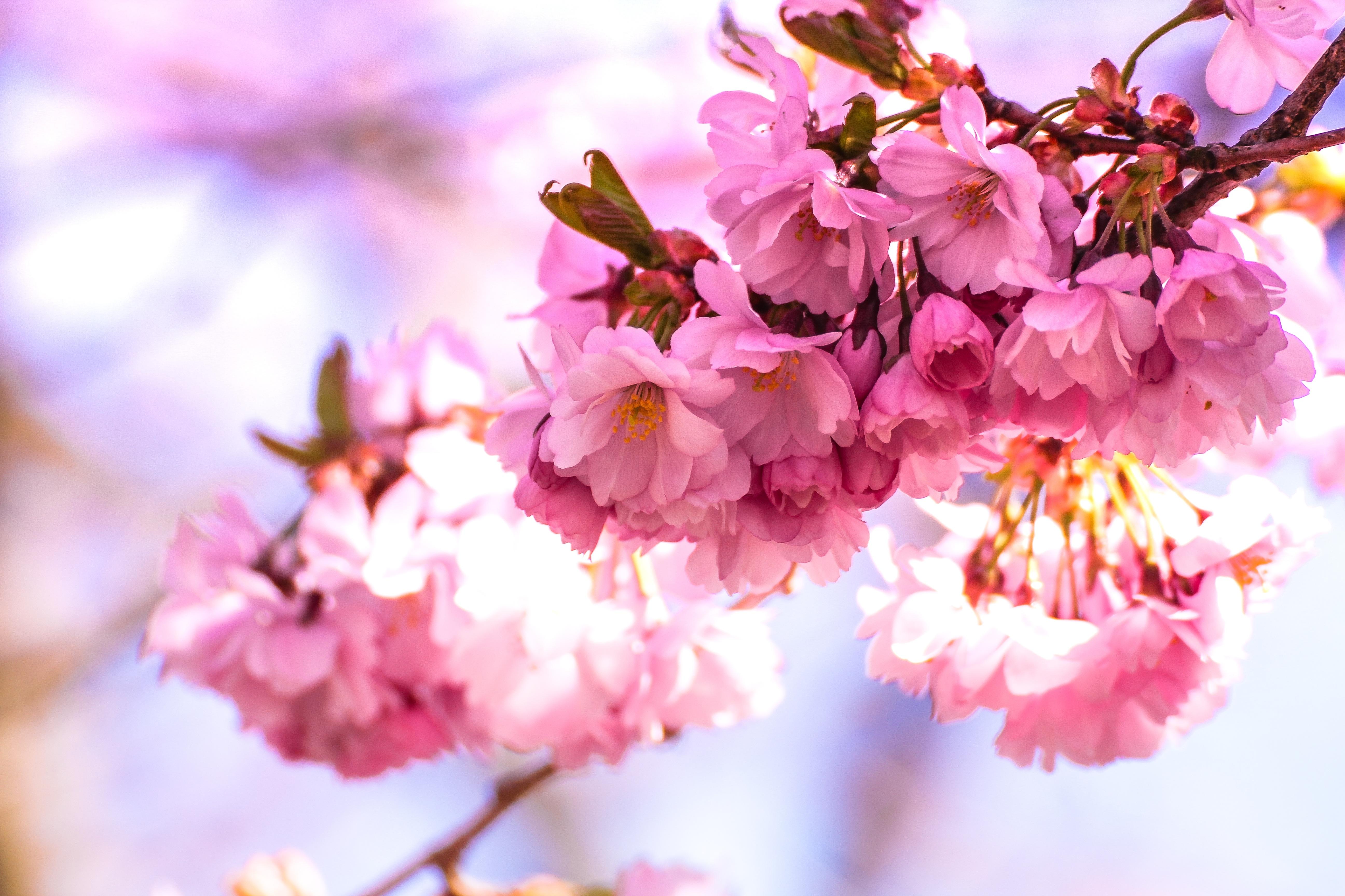 Gambar Berkembang Mekar Mengaburkan Bunga Sakura Merapatkan