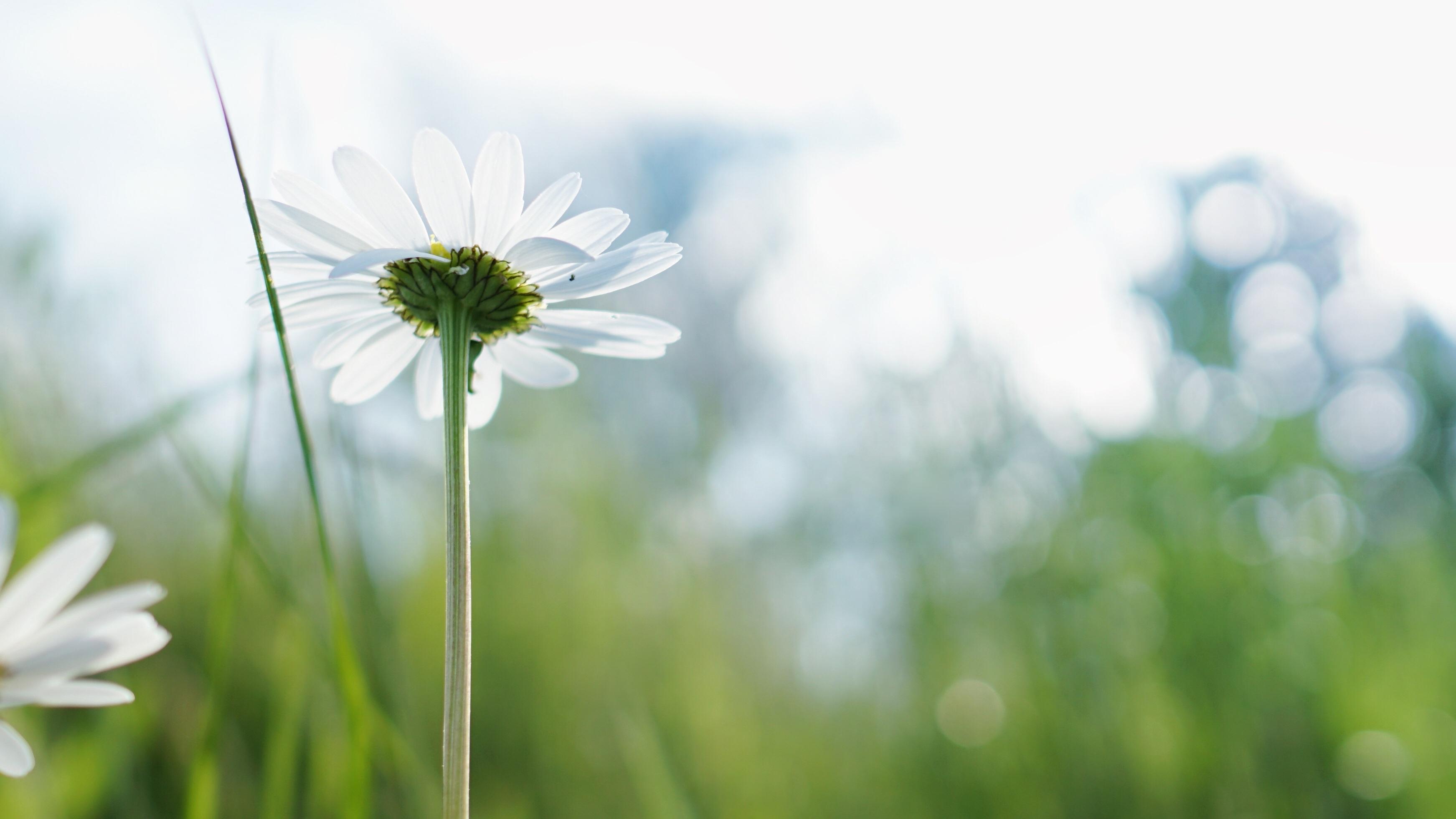 Gambar Berkembang Mekar Kamomil Merapatkan Flora Bunga