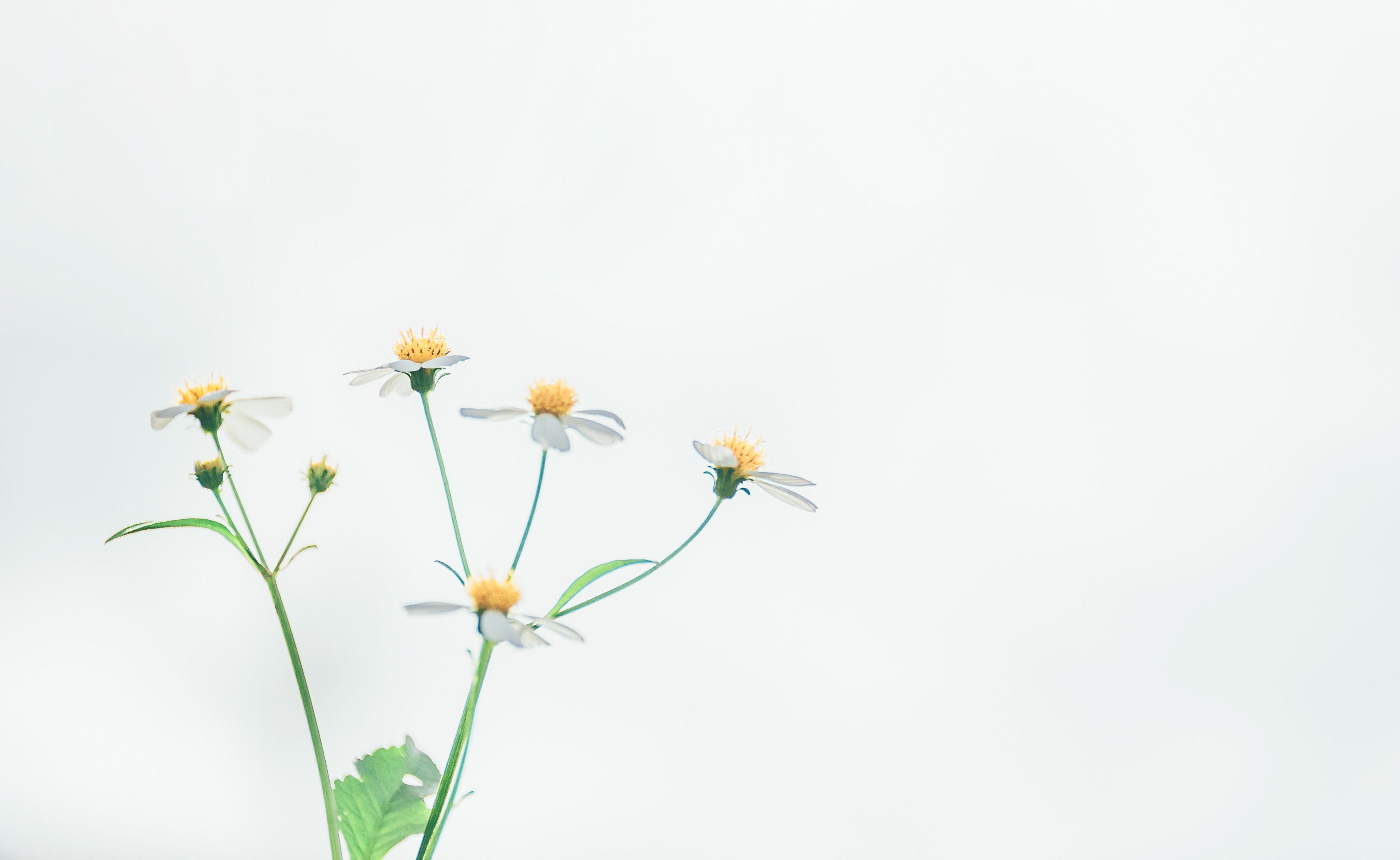 Free Images Bloom Blossom Chamomile Desktop Backgrounds