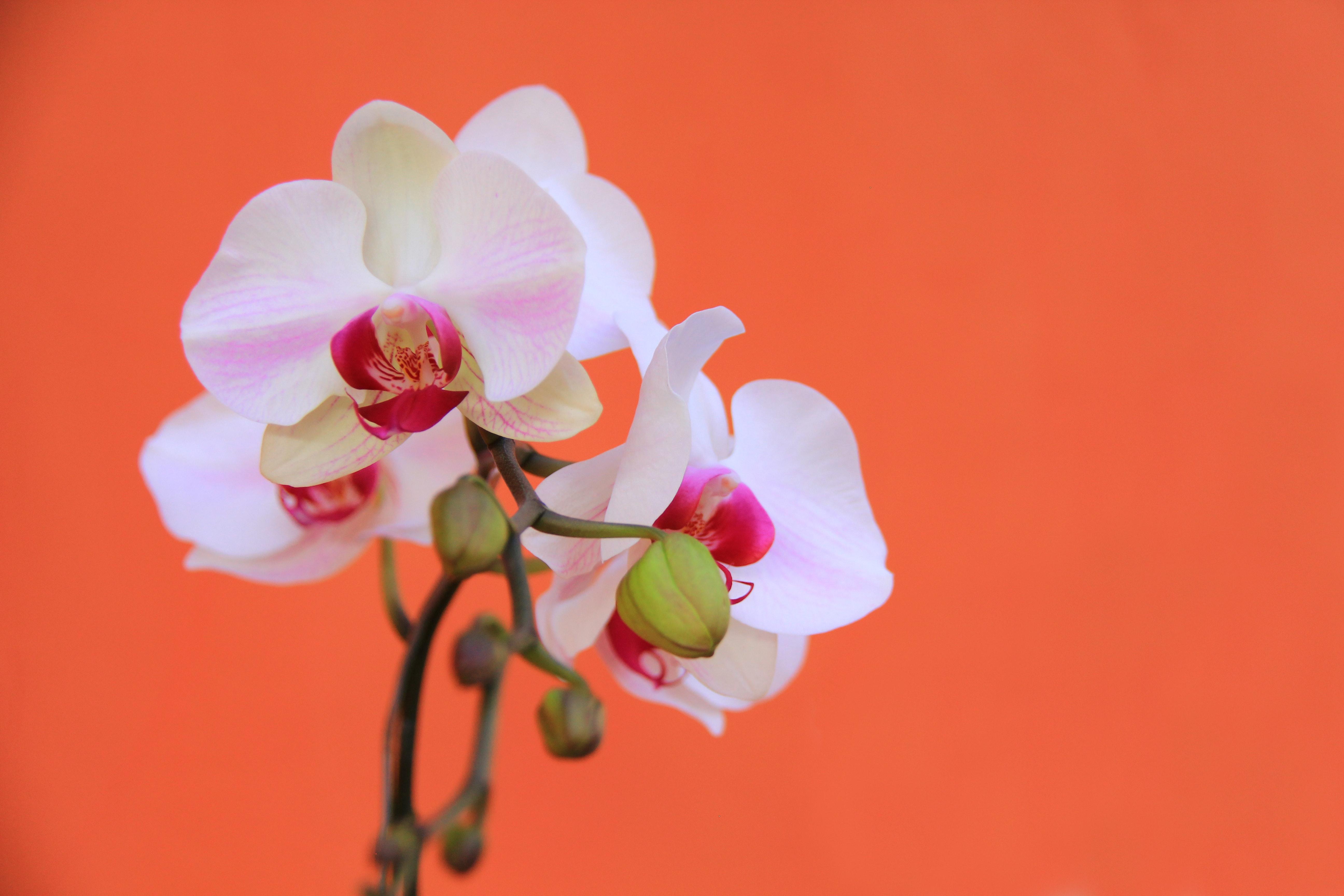 Unduh 54 Wallpaper Bunga Anggrek Hd Paling Keren