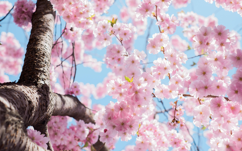 Картинки цветы сакуры красивые