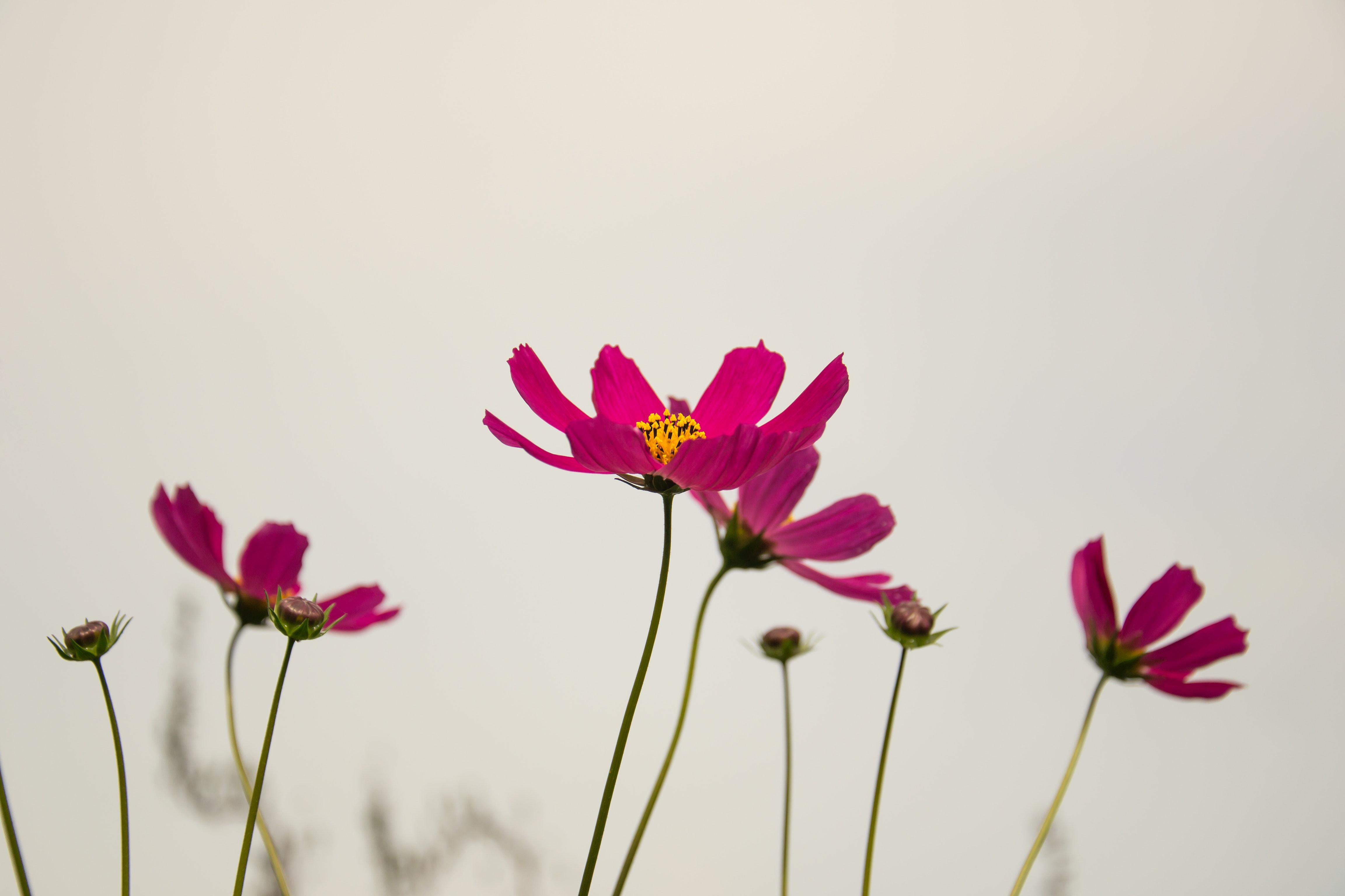 Free Images : bloom, blossom, flora, flowers, hd wallpaper, petal