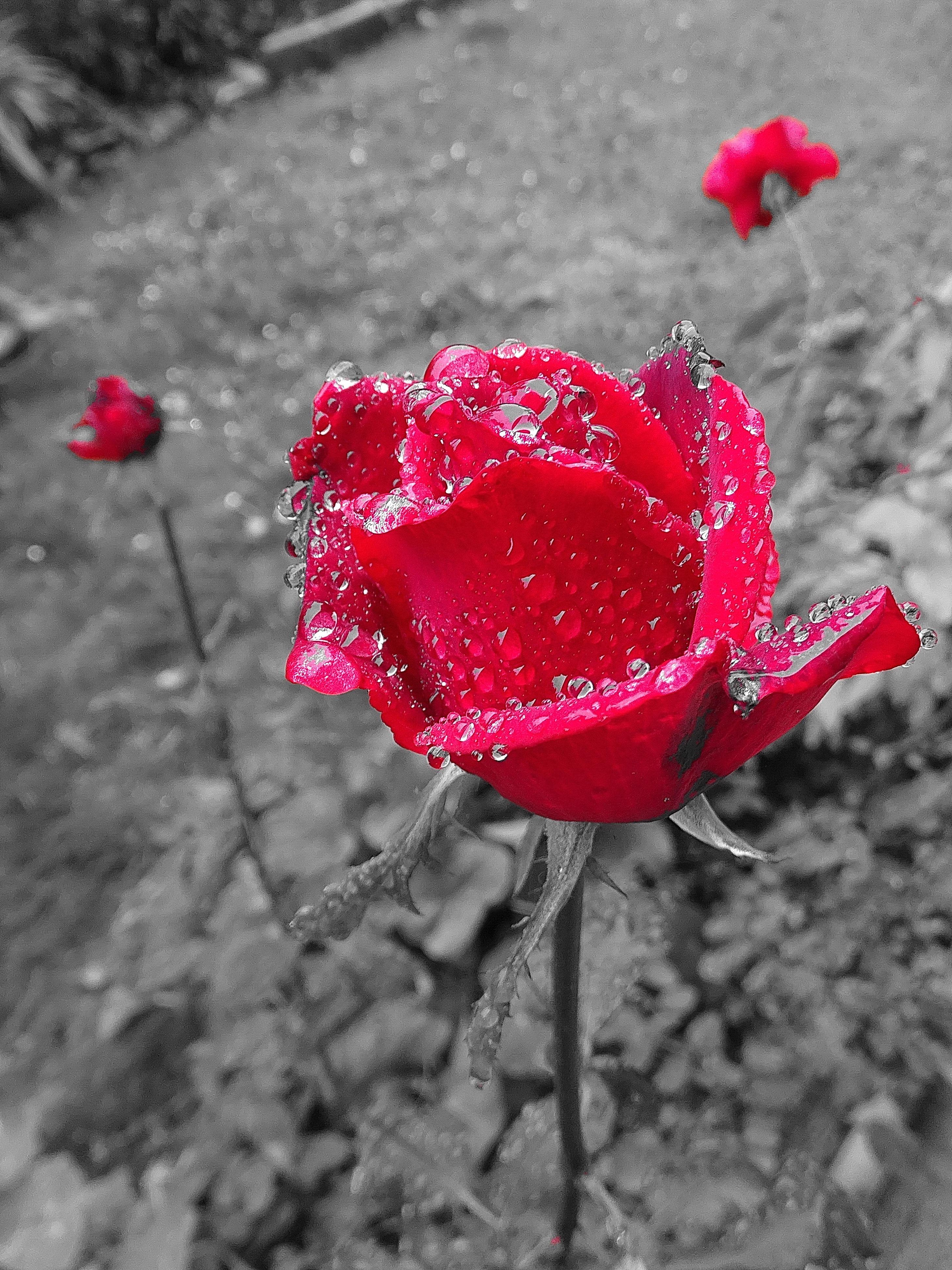 Images Gratuites : Fleur, Noir Et Blanc, Feuille, Pétale