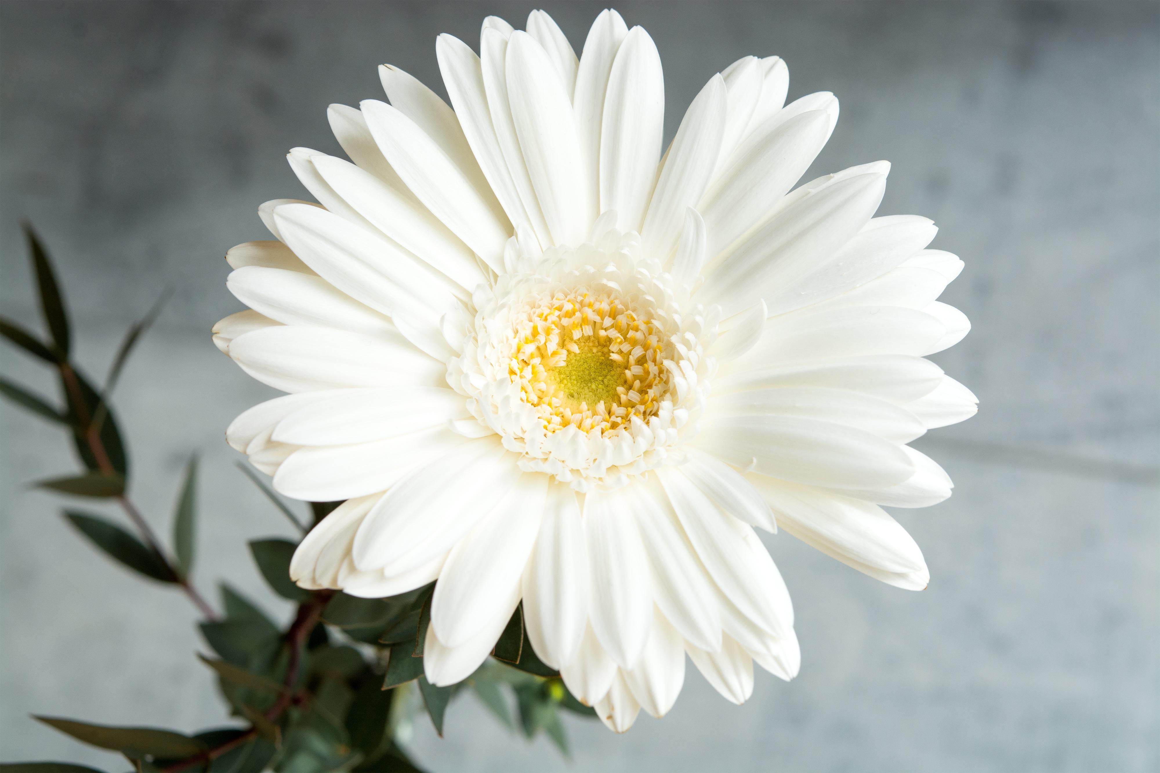Unduh 55+ Gambar Bunga Putih HD Paling Keren