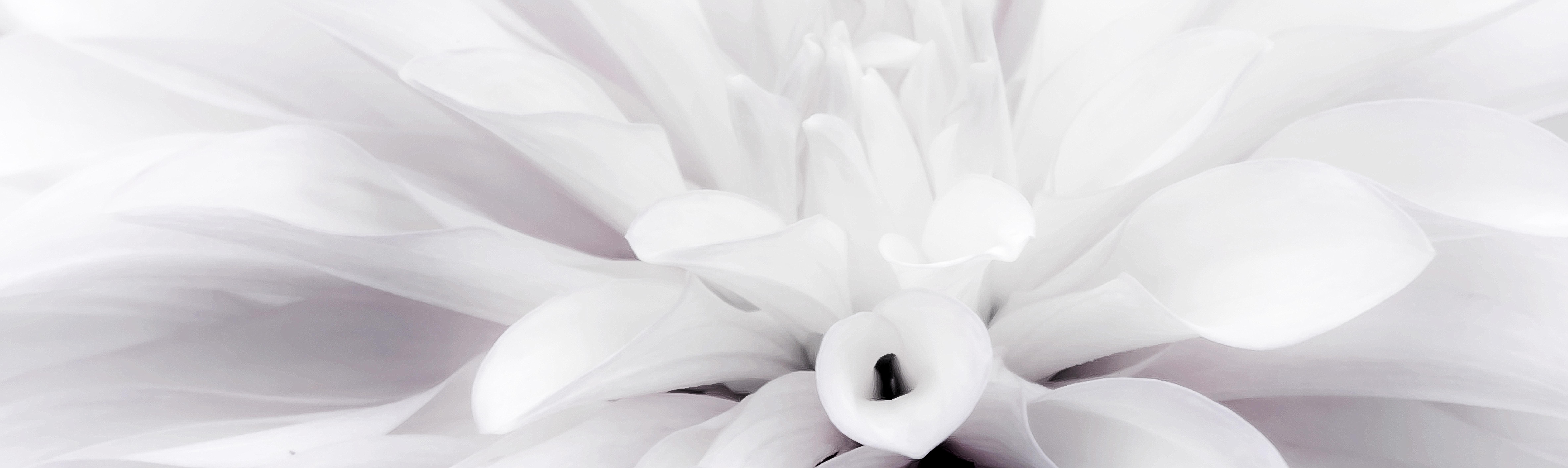 Free images blossom black and white petal bloom pink lighting free images blossom black and white petal bloom pink lighting close up flower garden late summer dahlia garden peony macro photography izmirmasajfo