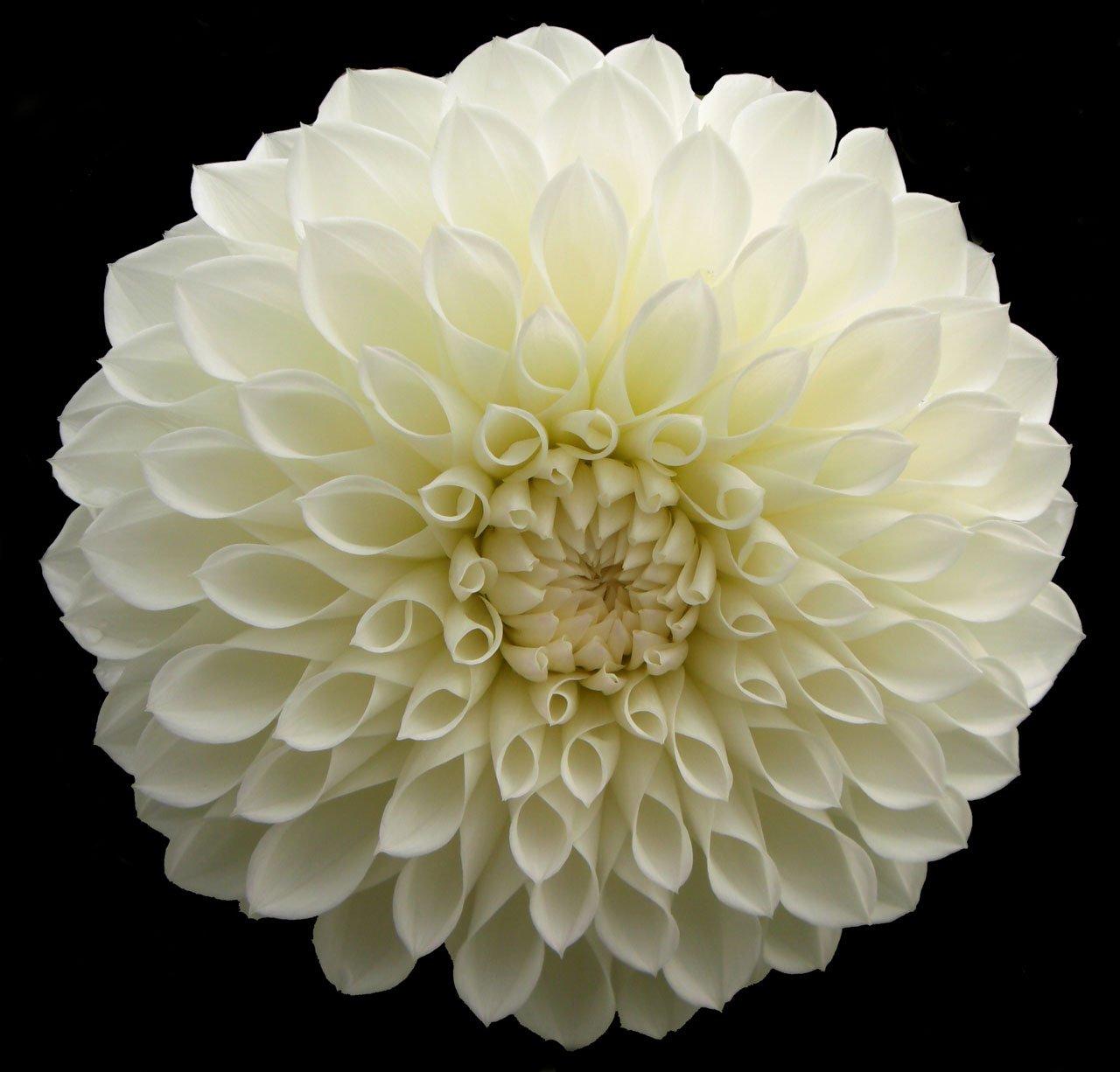 Gambar Mekar Hitam Dan Putih Menanam Daun Bunga Berkembang