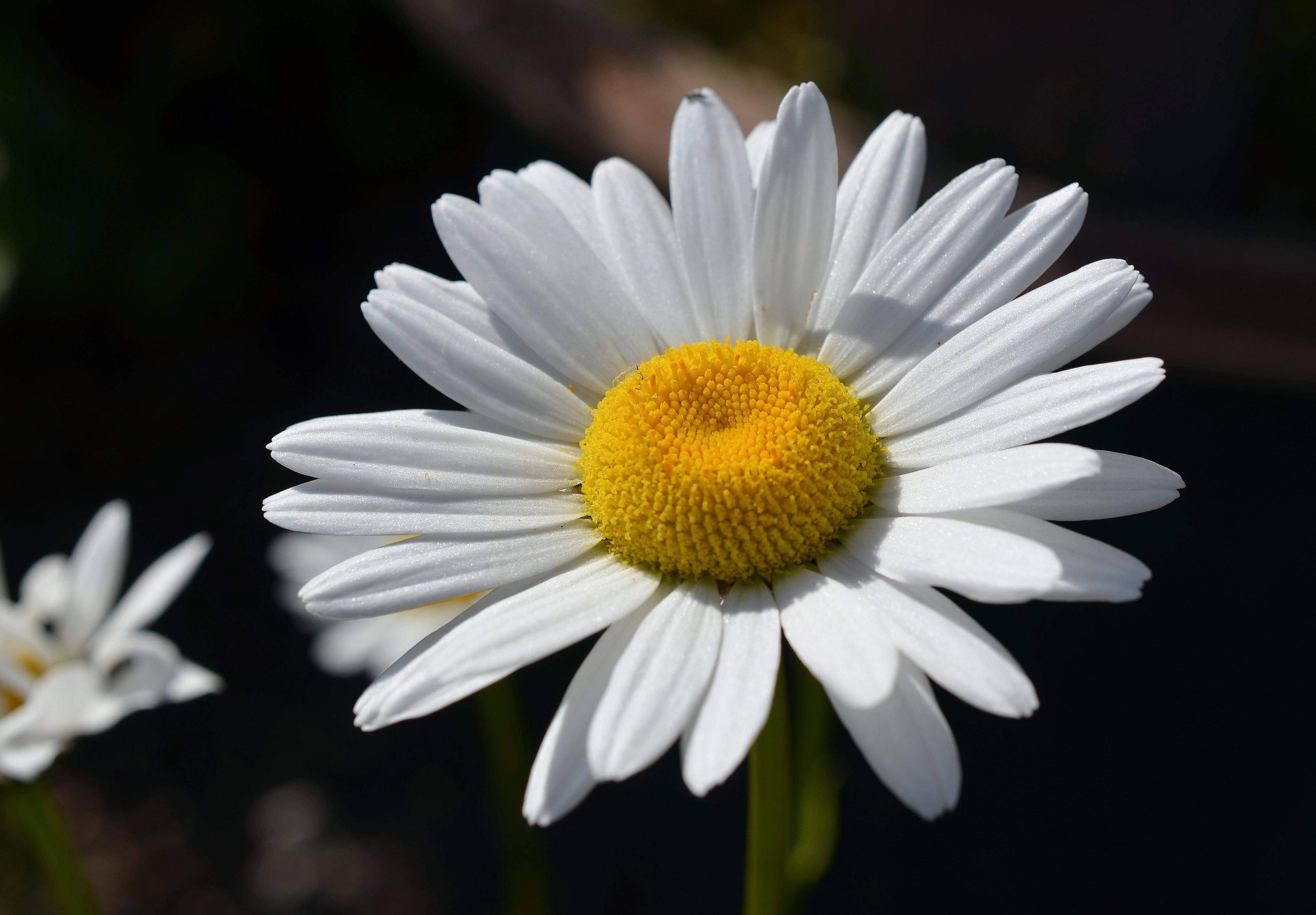 Immagini belle fiorire bianco e nero bianca petalo for Margherita pianta