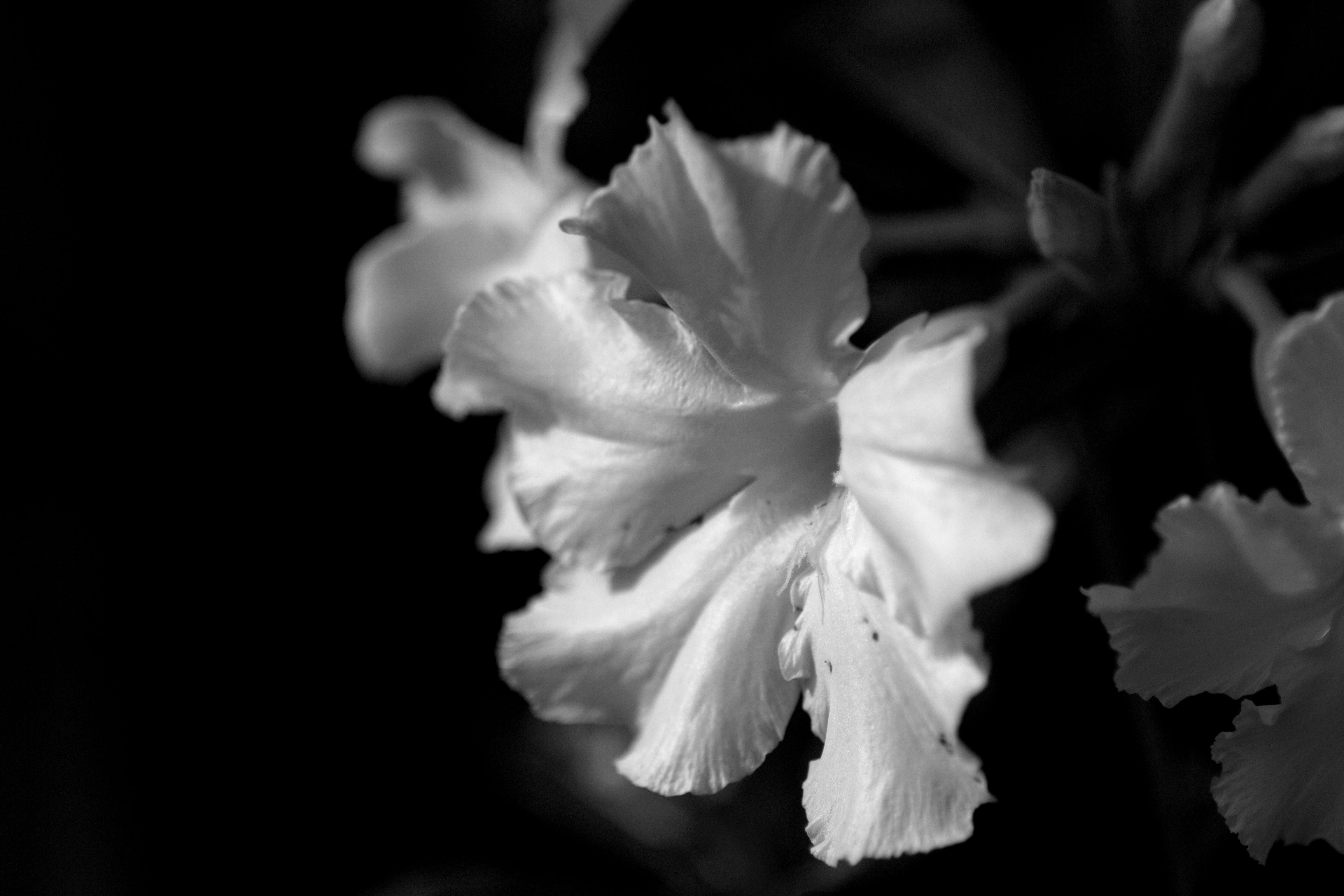 Чб картинки цветы