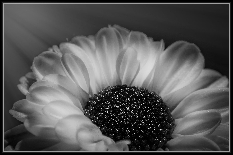 Images Gratuites : fleur, noir et blanc, la photographie, pétale, Floraison, Marguerite ...