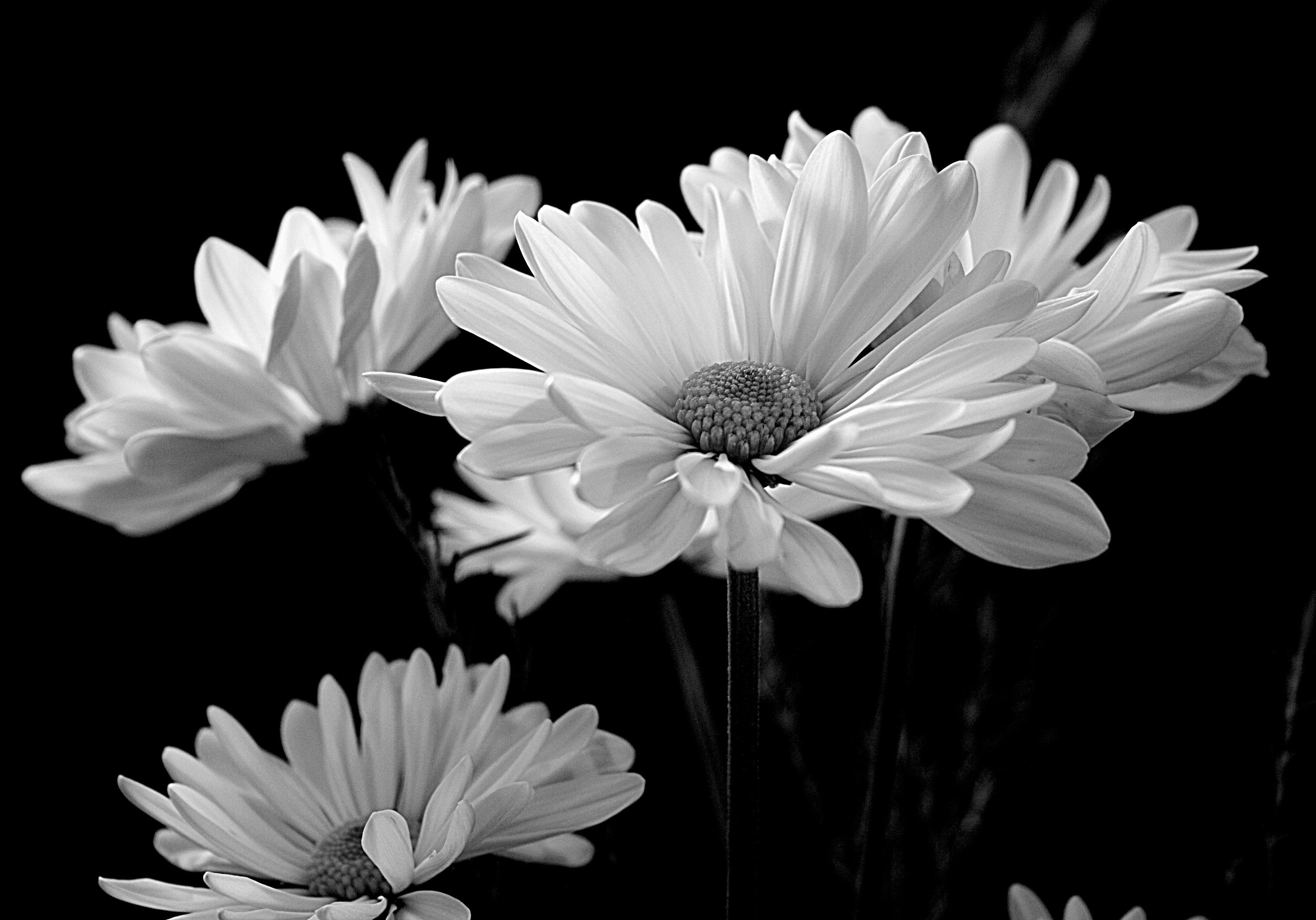 Картинки темно-белые цветы