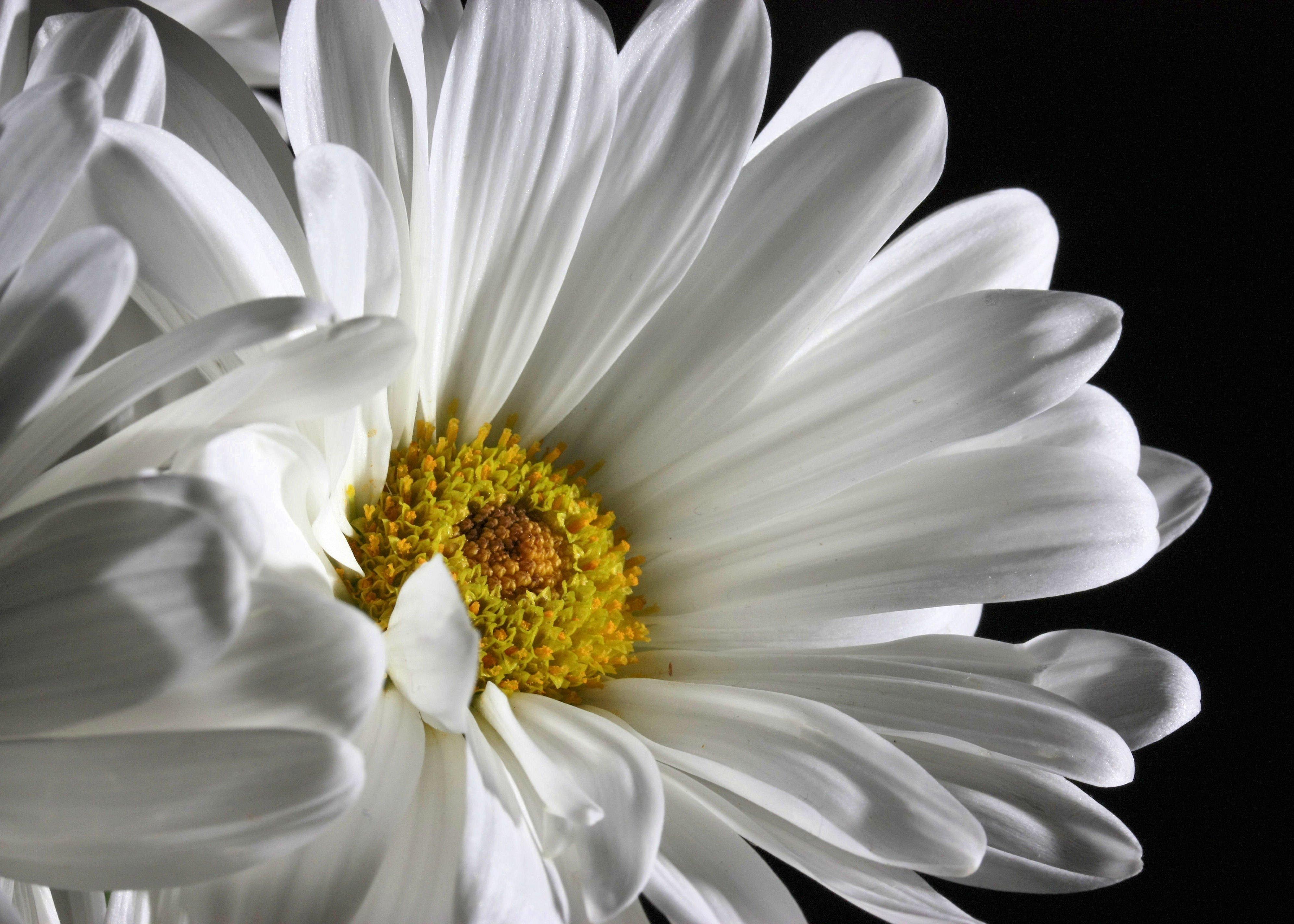 Free Images : blossom, black and white, flower, petal, bloom, fresh ...