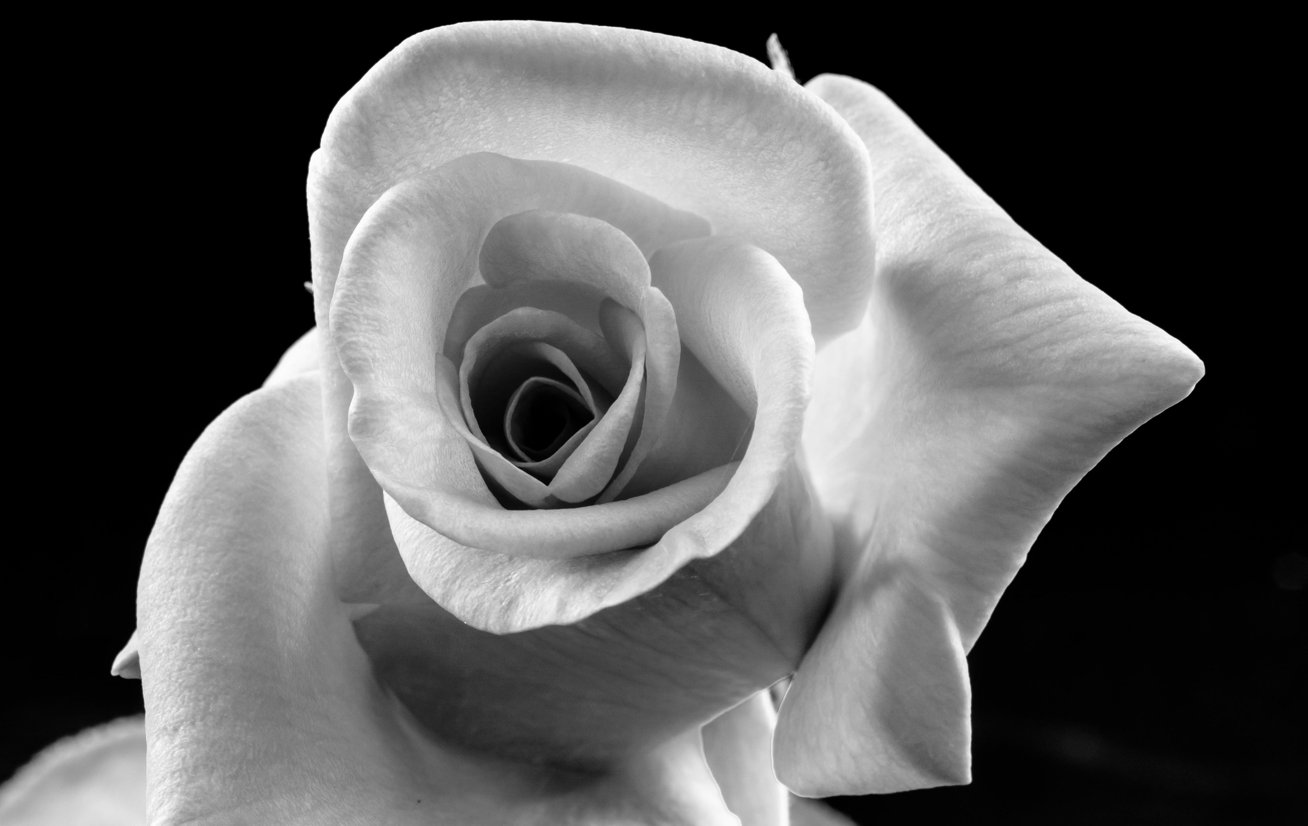 розы черно белые фотографии выбирает для