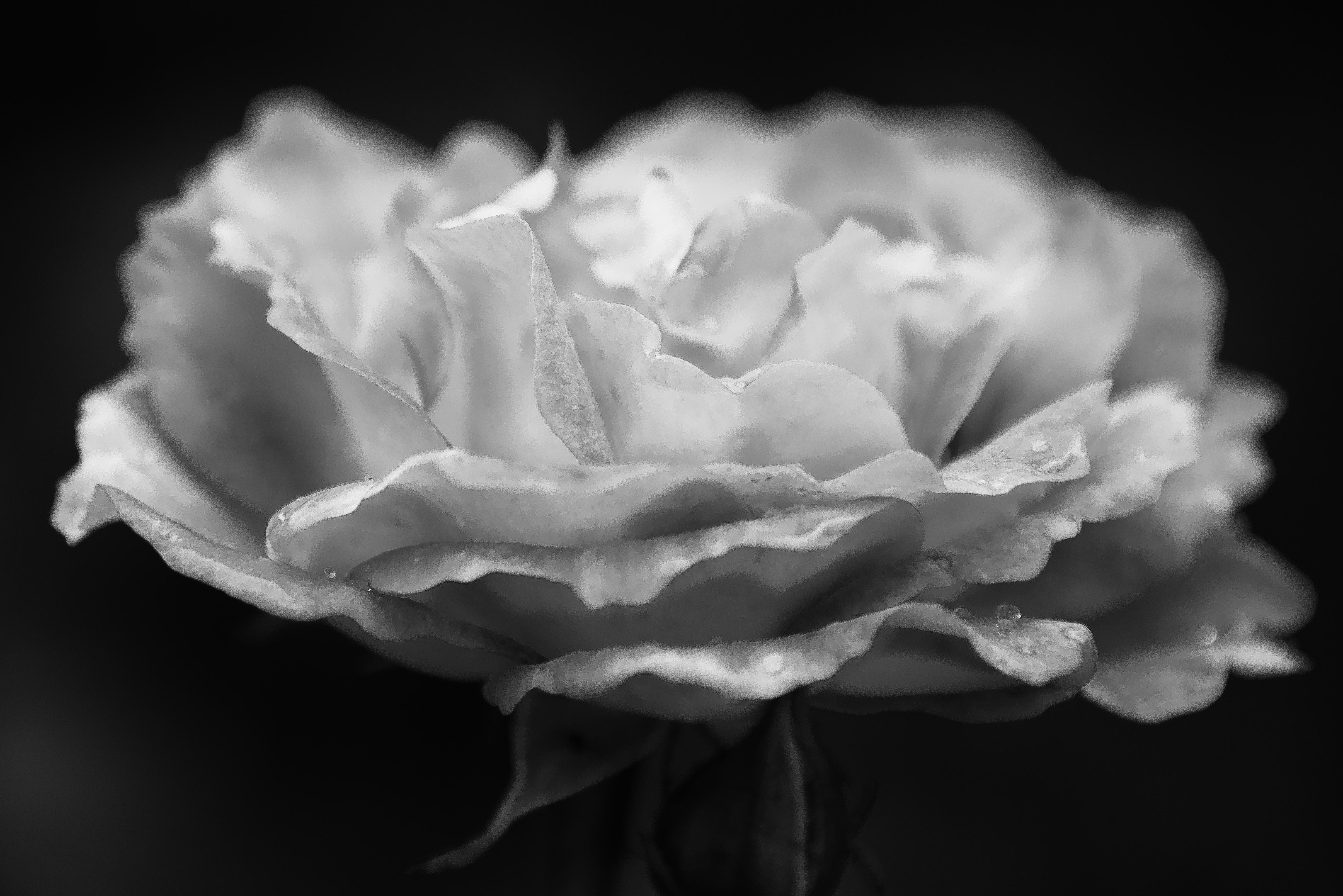 Free Images Blossom Black And White Flower Petal Flora Close