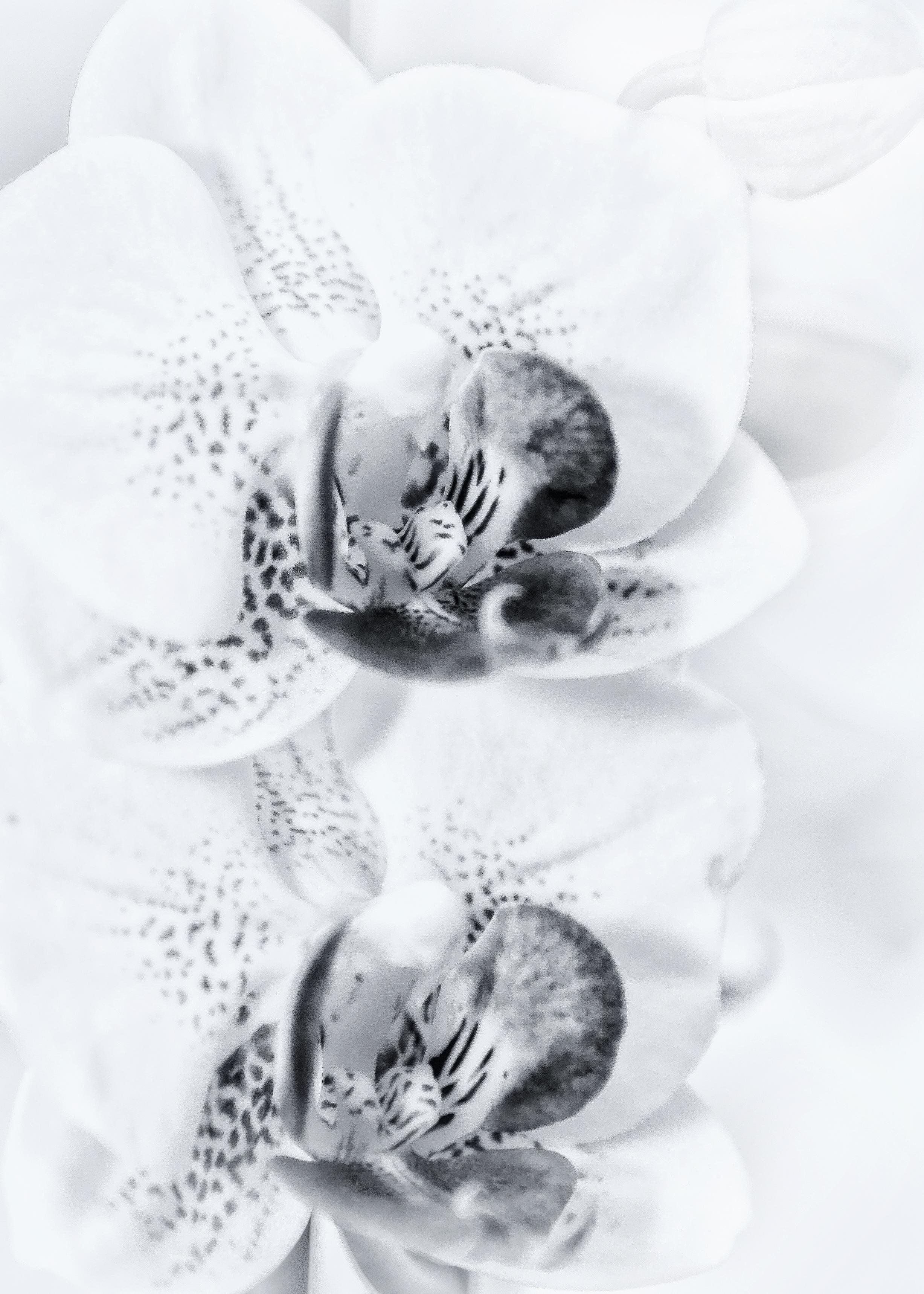 Images Gratuites Fleur Noir Et Blanc Pétale Floraison