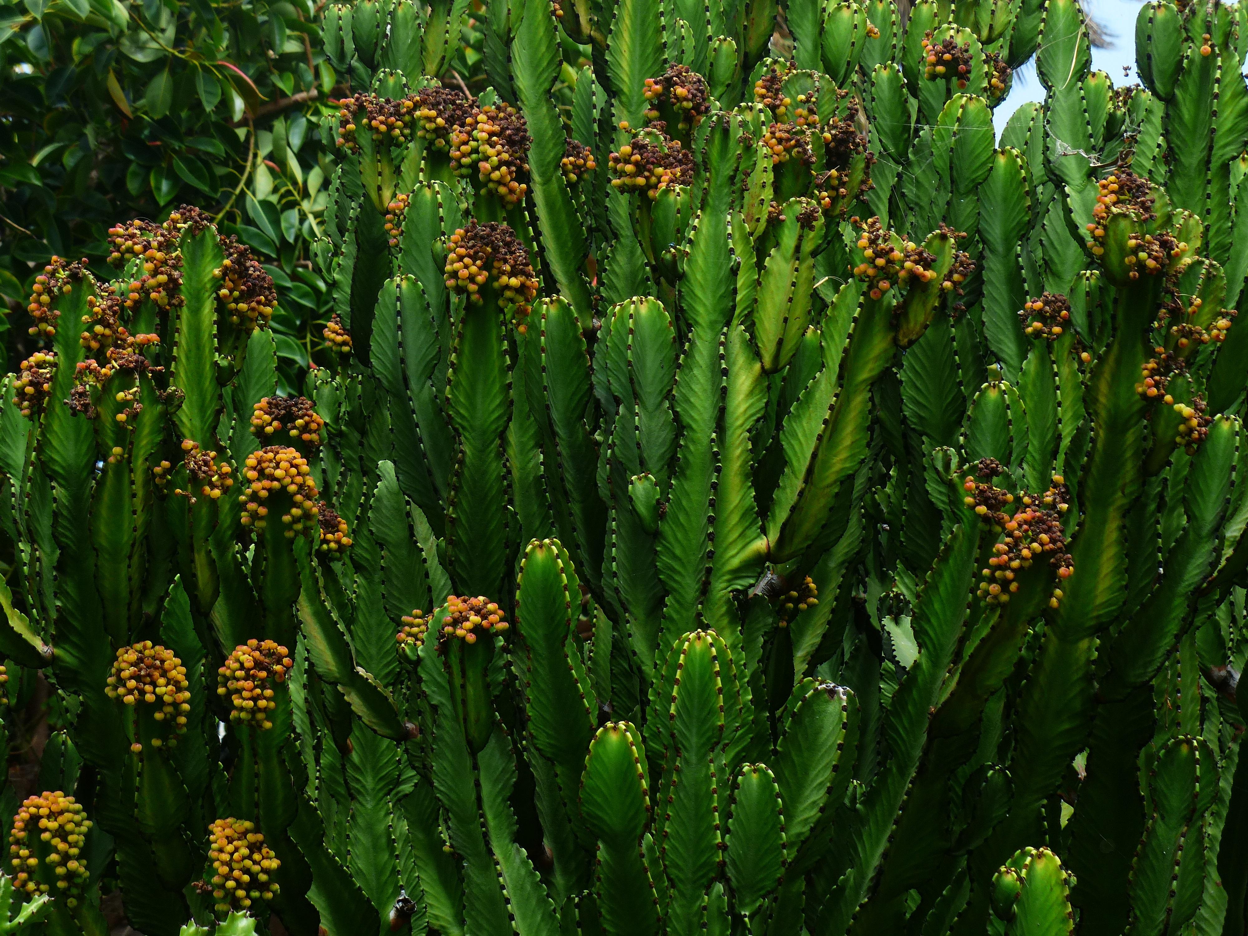 Euphorbia Üçgen