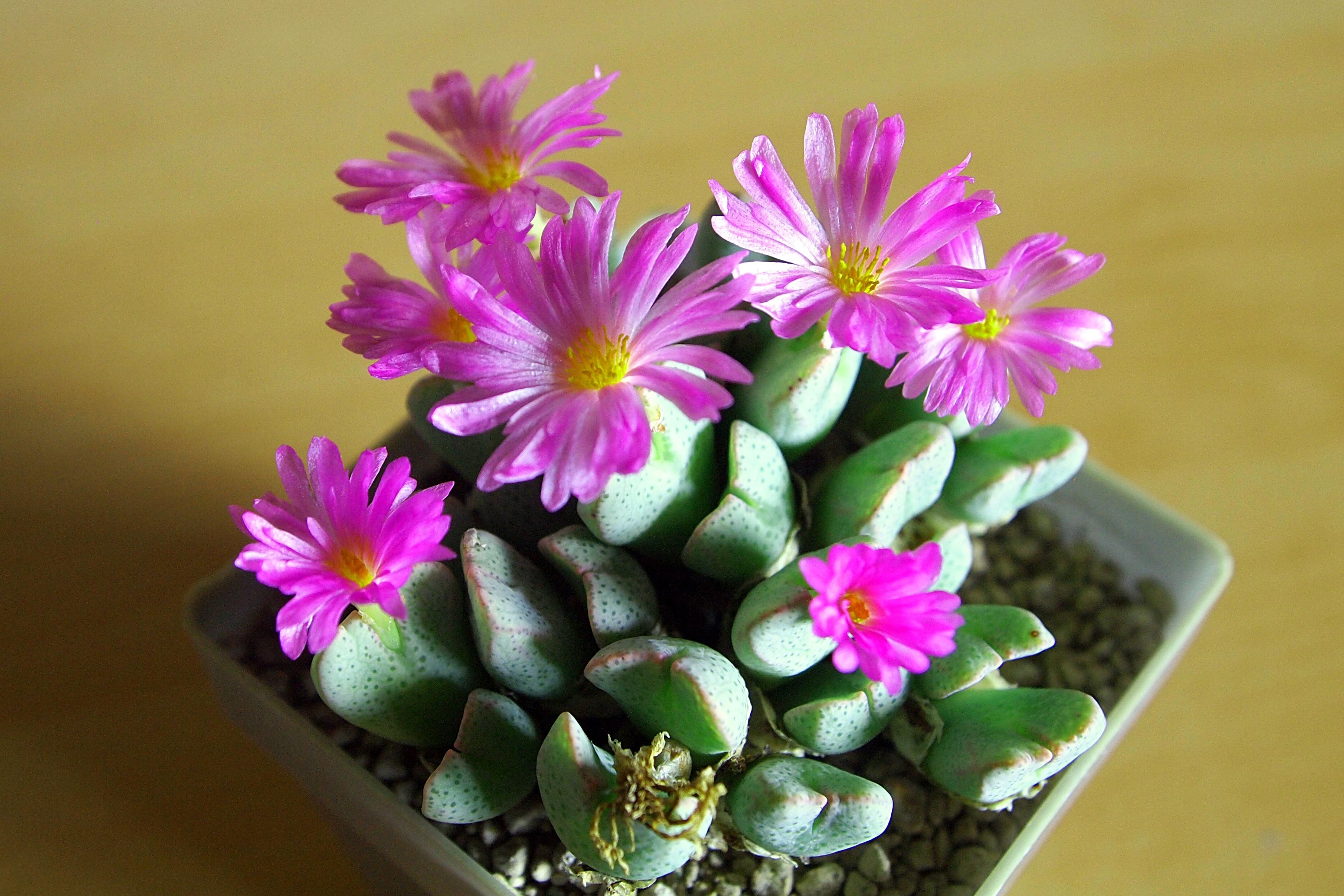 Gambar mekar menanam daun bunga berkembang musim semi botani berwarna merah muda Flora Budidaya Bunga bunga merah muda fotografi makro