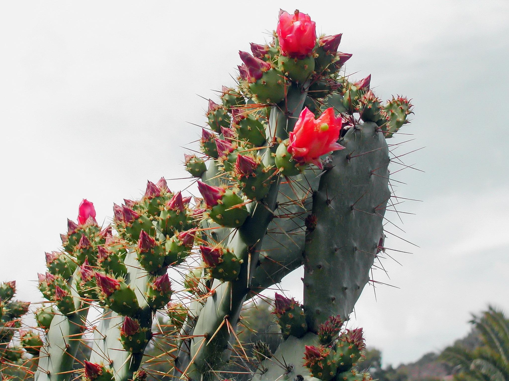 ดอก ต้นกระบองเพชร ปลูก ใบไม้ ดอกไม้ สีแดง พฤกษศาสตร์ พืช ดอกไม้ป่า ดอกไม้  ไม้พุ่ม หนาม