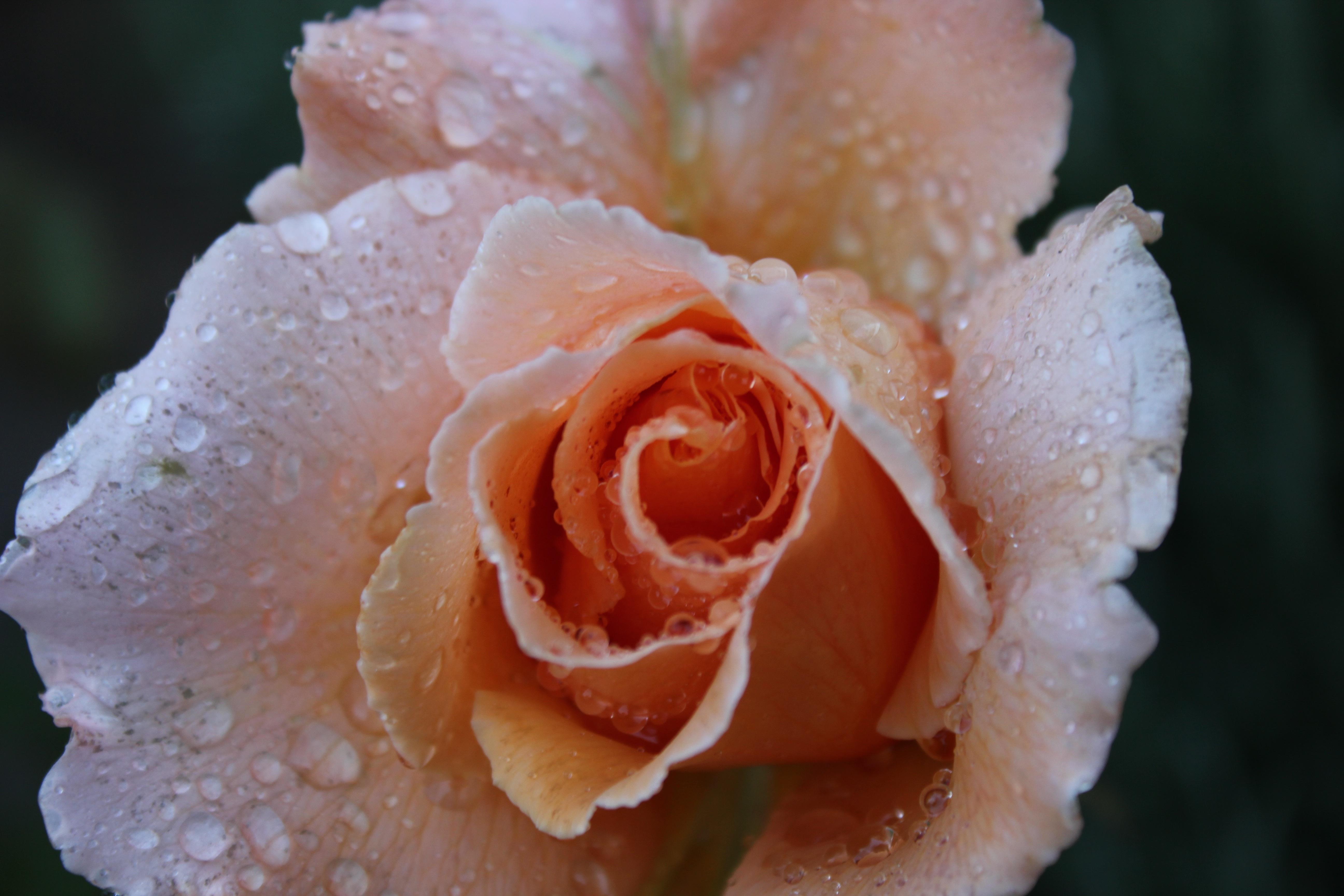 типов фото большие розы с росой идея для