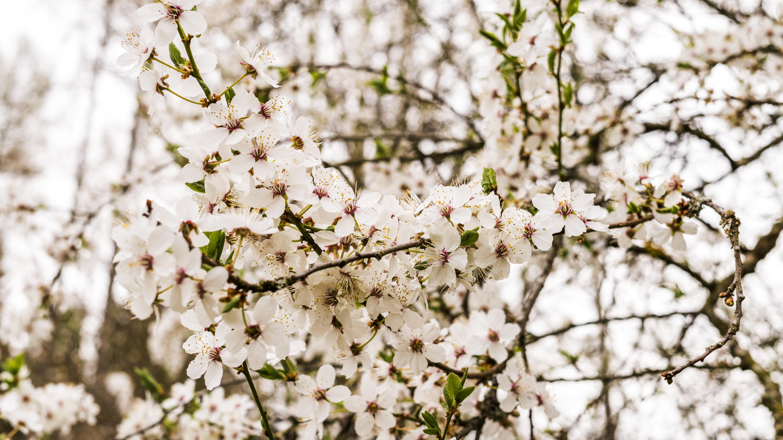 Ciliegio Fiori Bianchi O Rosa.Immagini Belle Fiorire Primavera Ramo Rosa Fiore Di Ciliegio