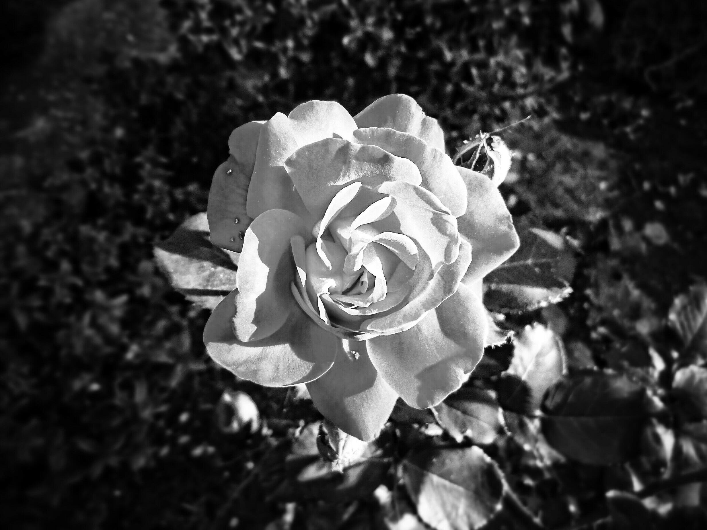 розы черно белые фотографии поскольку моей