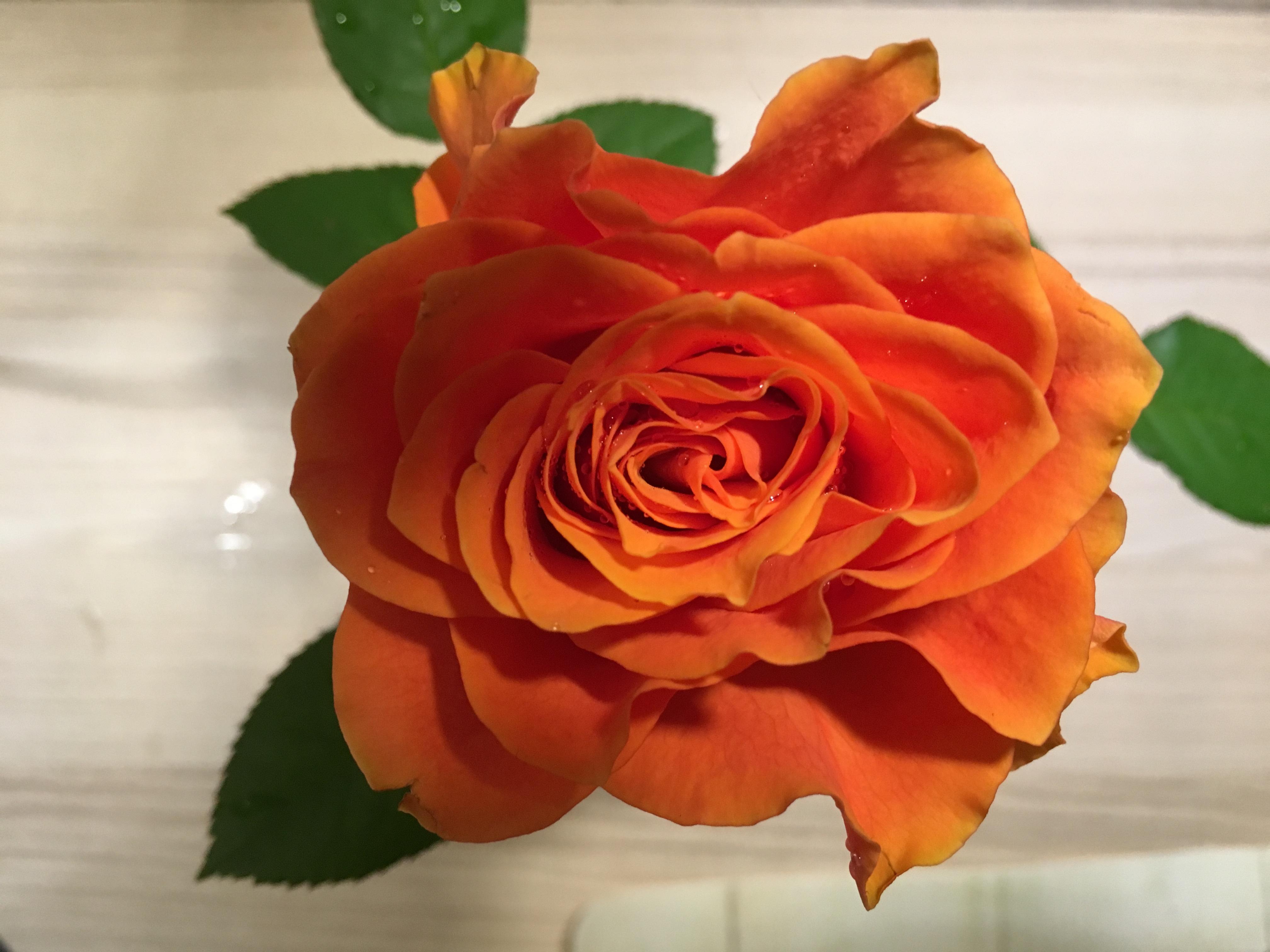 фото дополните розы цвета лосося фото почки, меняя при