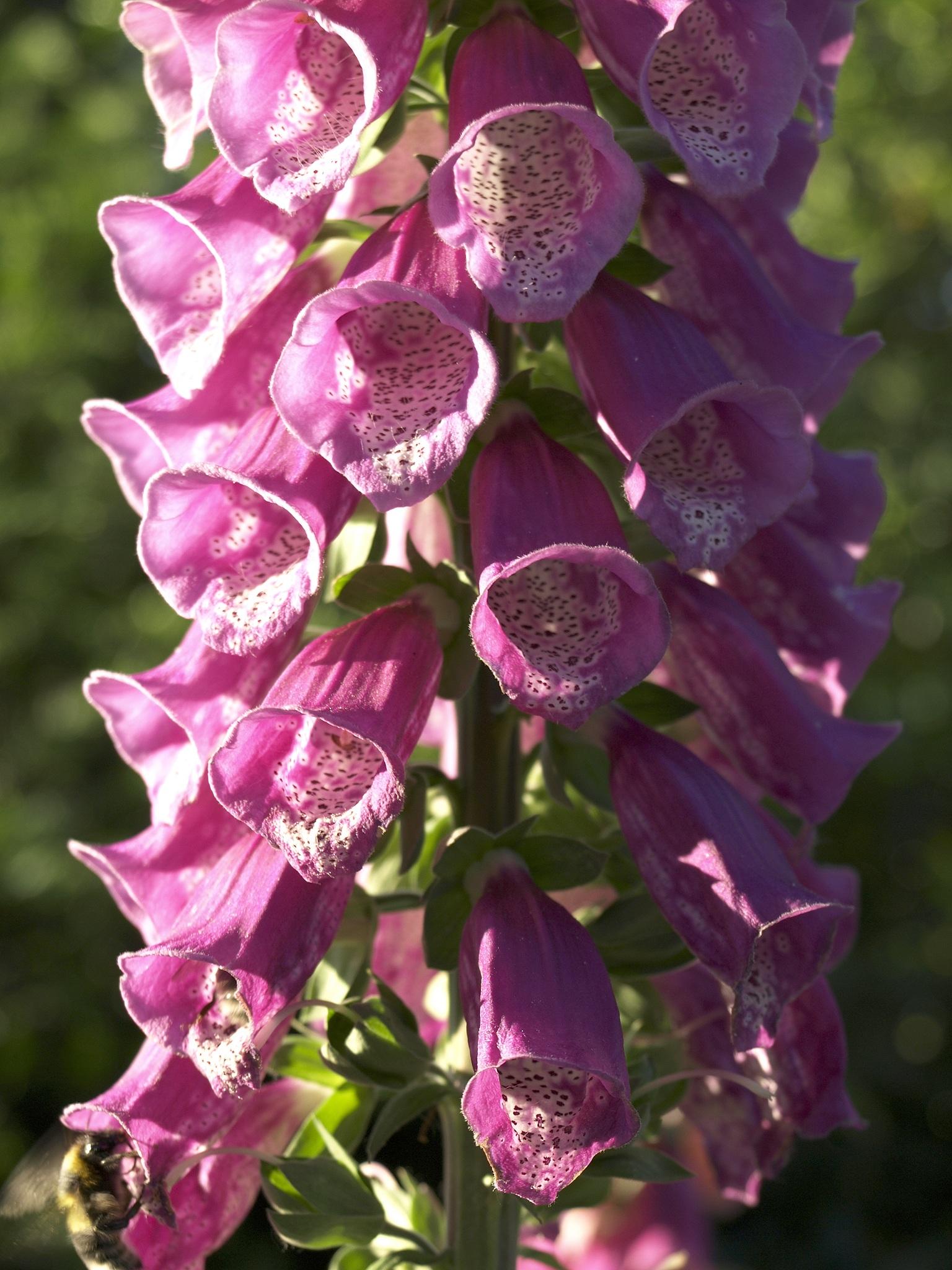 Наперстянка цветок ядовитый