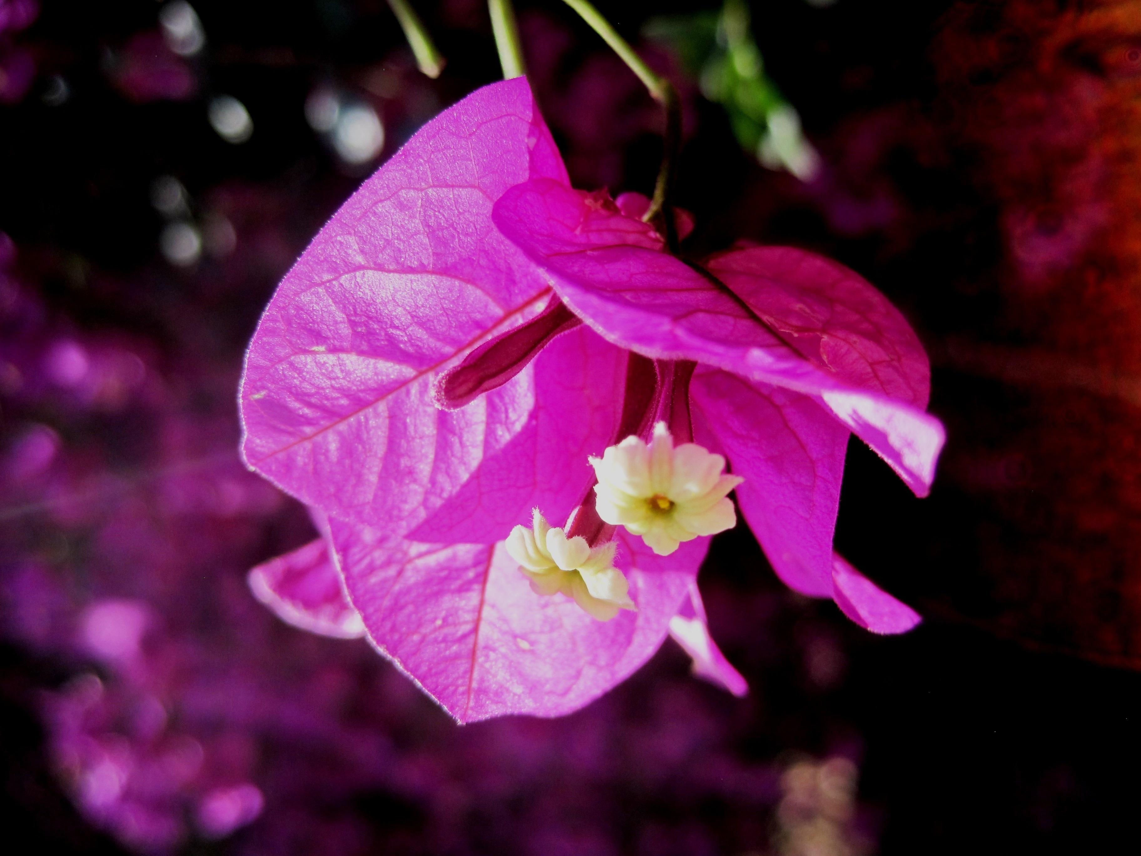 Free Images Blossom Light Leaf Flower Purple Petal Bloom