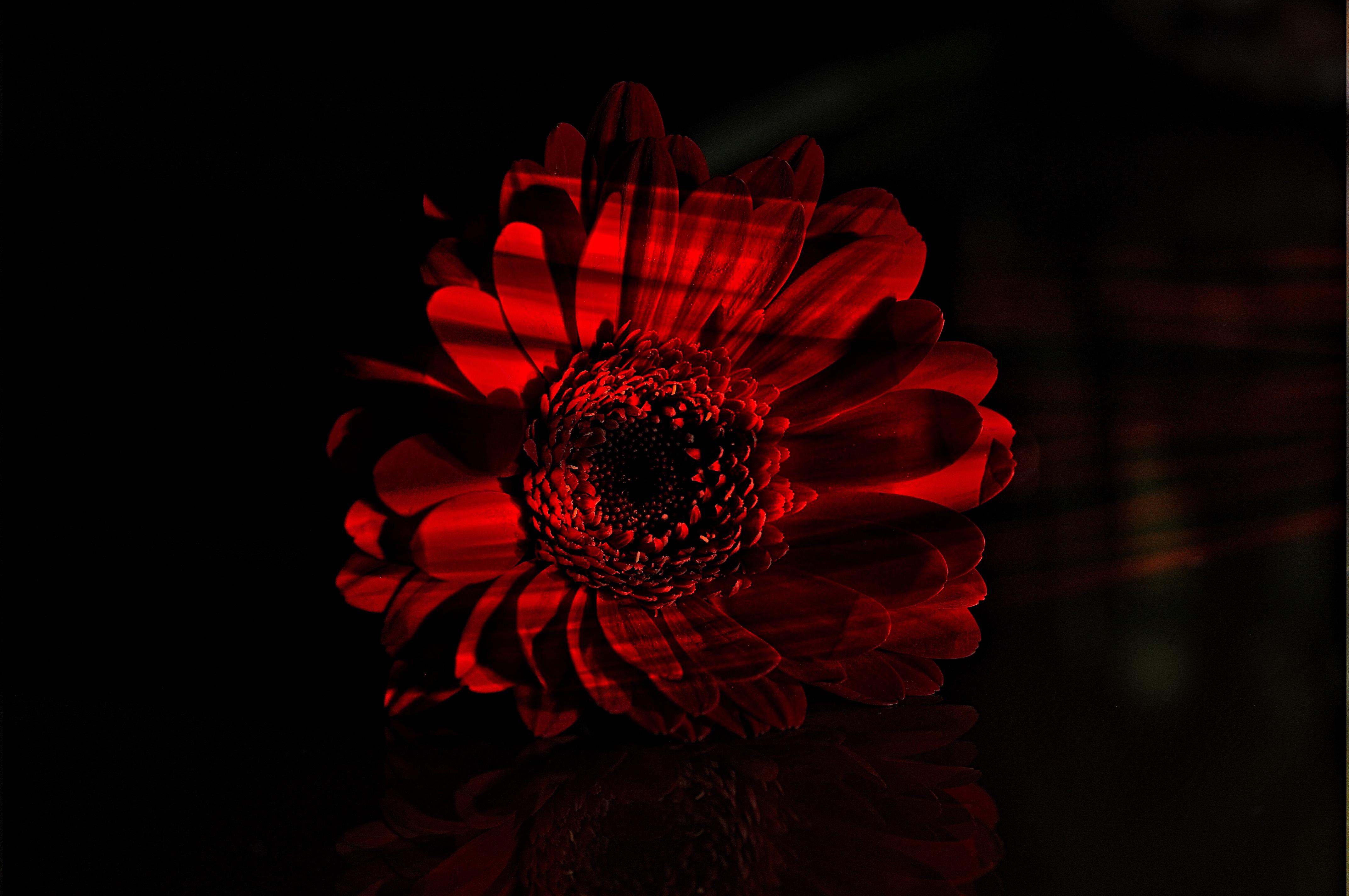 Free images blossom sunlight flower petal bloom dark red darkness black flora close up lichtspiel gerbera light and shadow macro photography