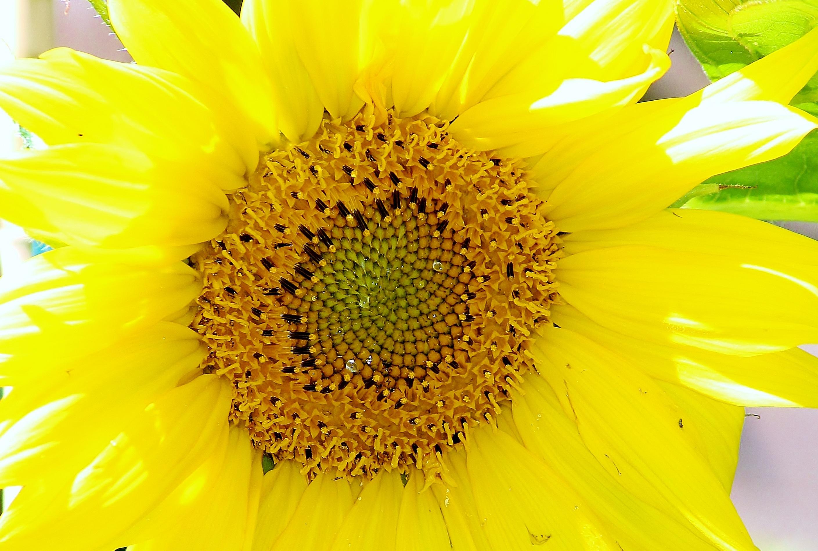 86 Gambar Struktur Bunga Matahari Terlihat Keren