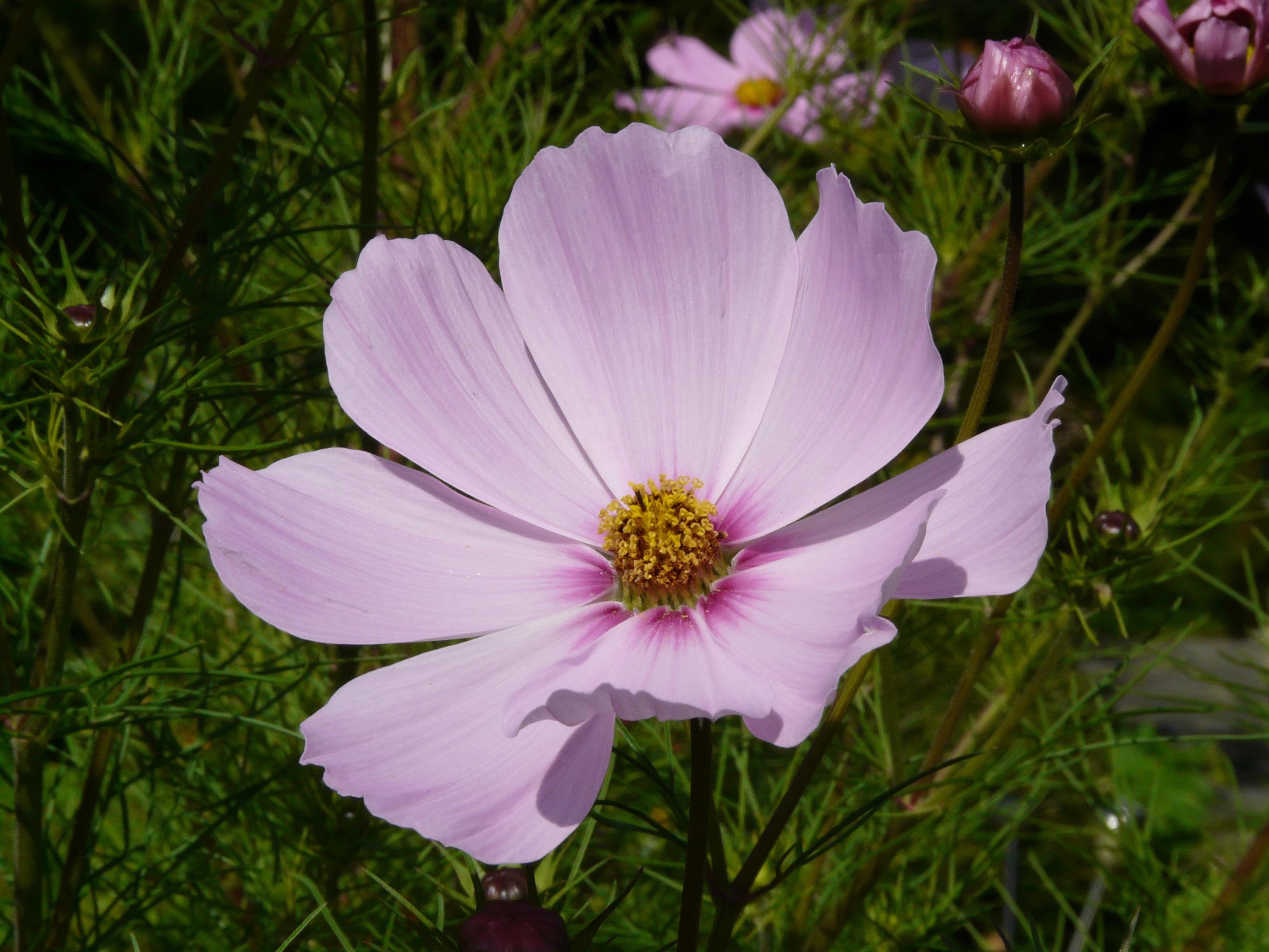 images gratuites fleur cosmos p tale floraison botanique flore fleur sauvage asteraceae. Black Bedroom Furniture Sets. Home Design Ideas