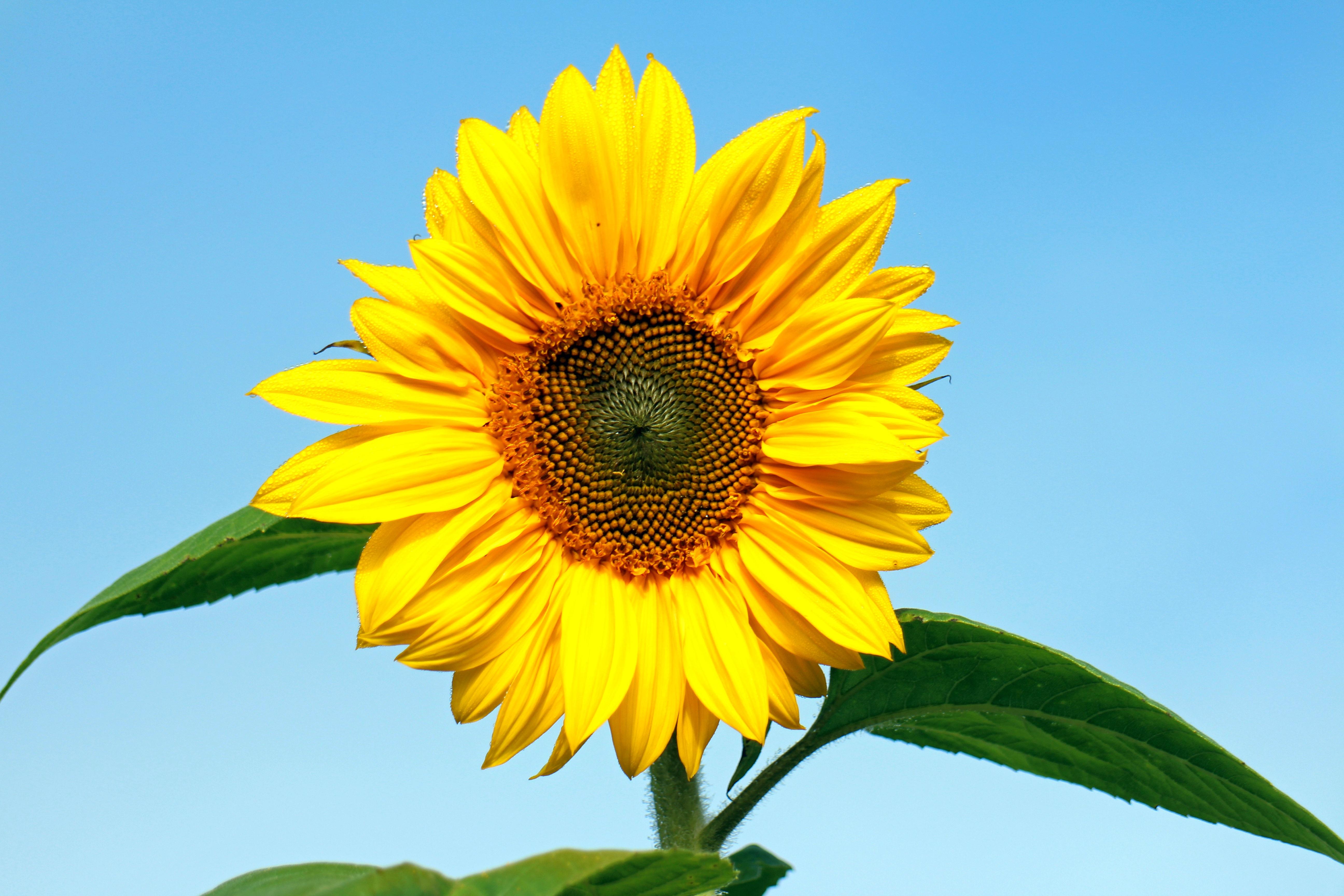 101+ Gambar Bunga Matahari Kuning Paling Baru
