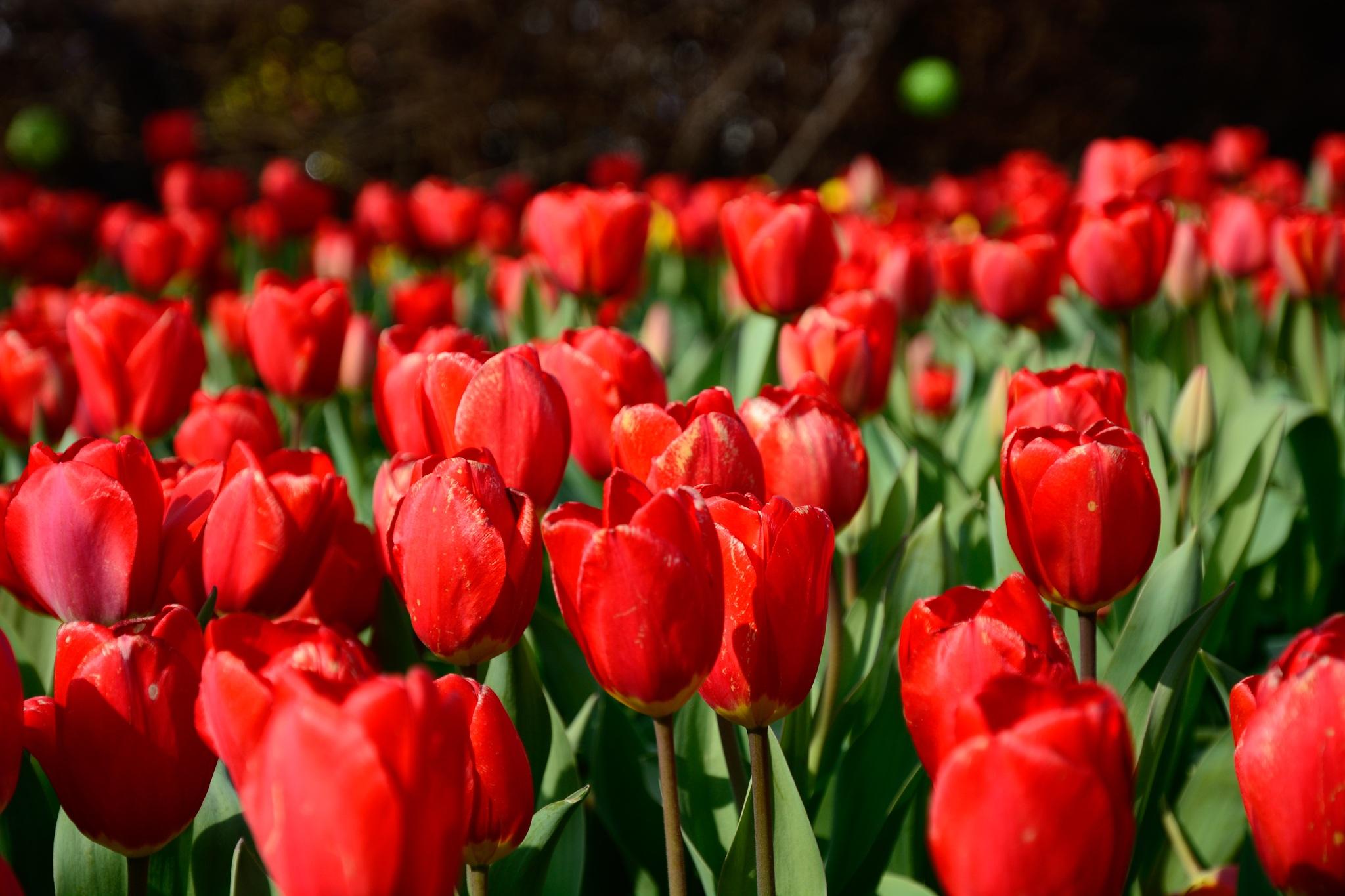 шарики желаемого картинки с красными тюльпанами самом