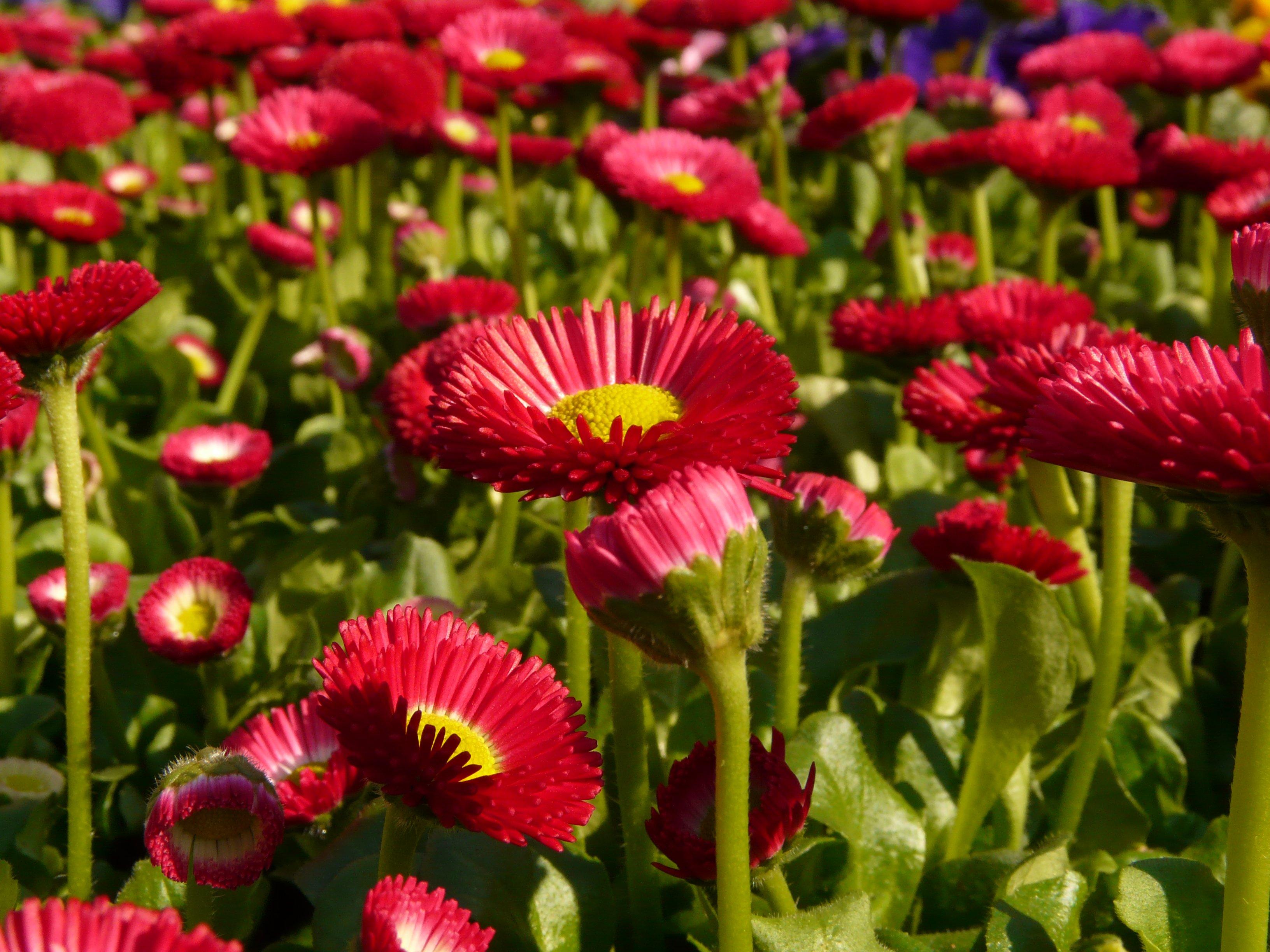 Цветы красные низкорослые